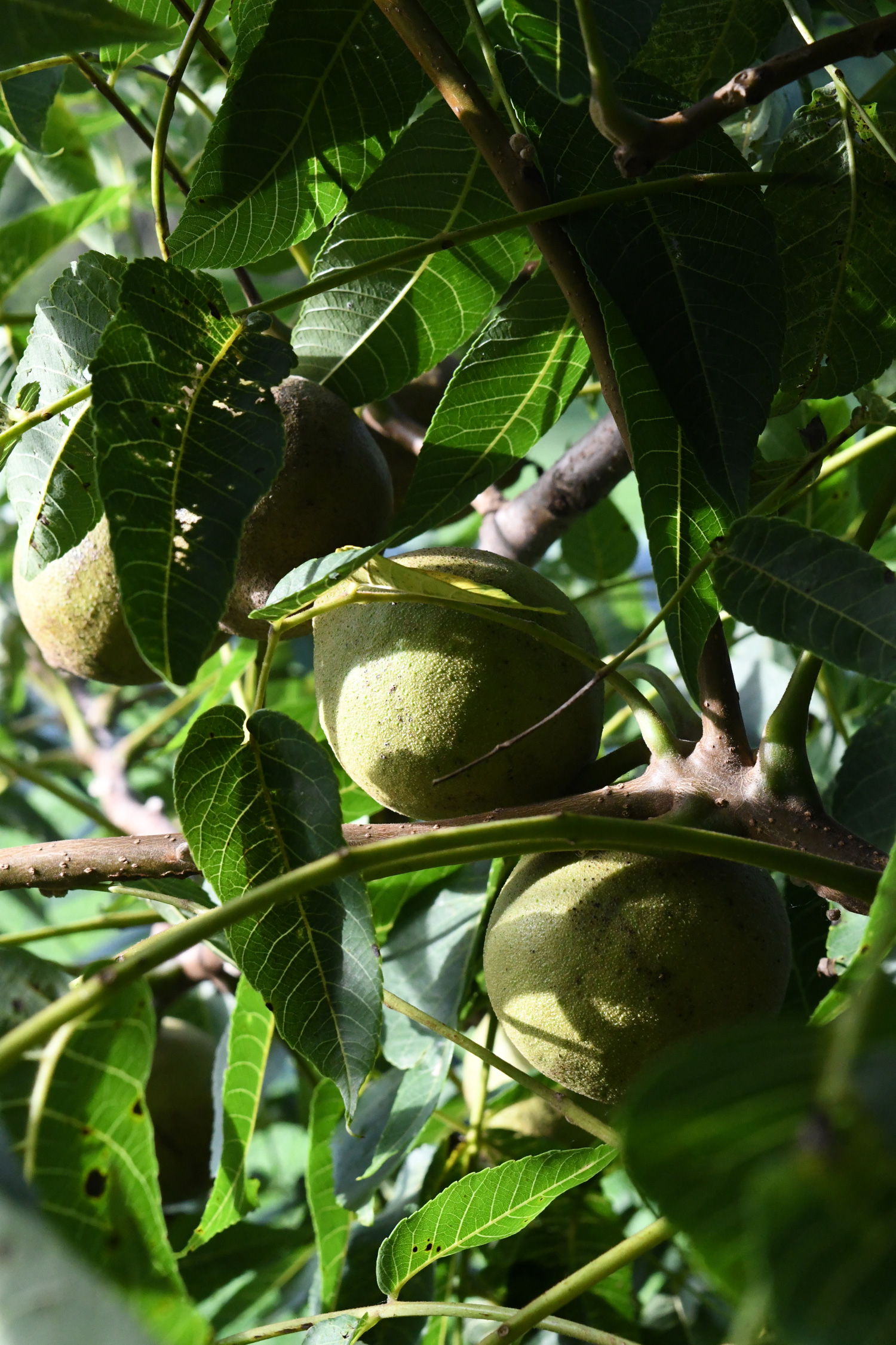 Behind black walnuts, Prospect Park