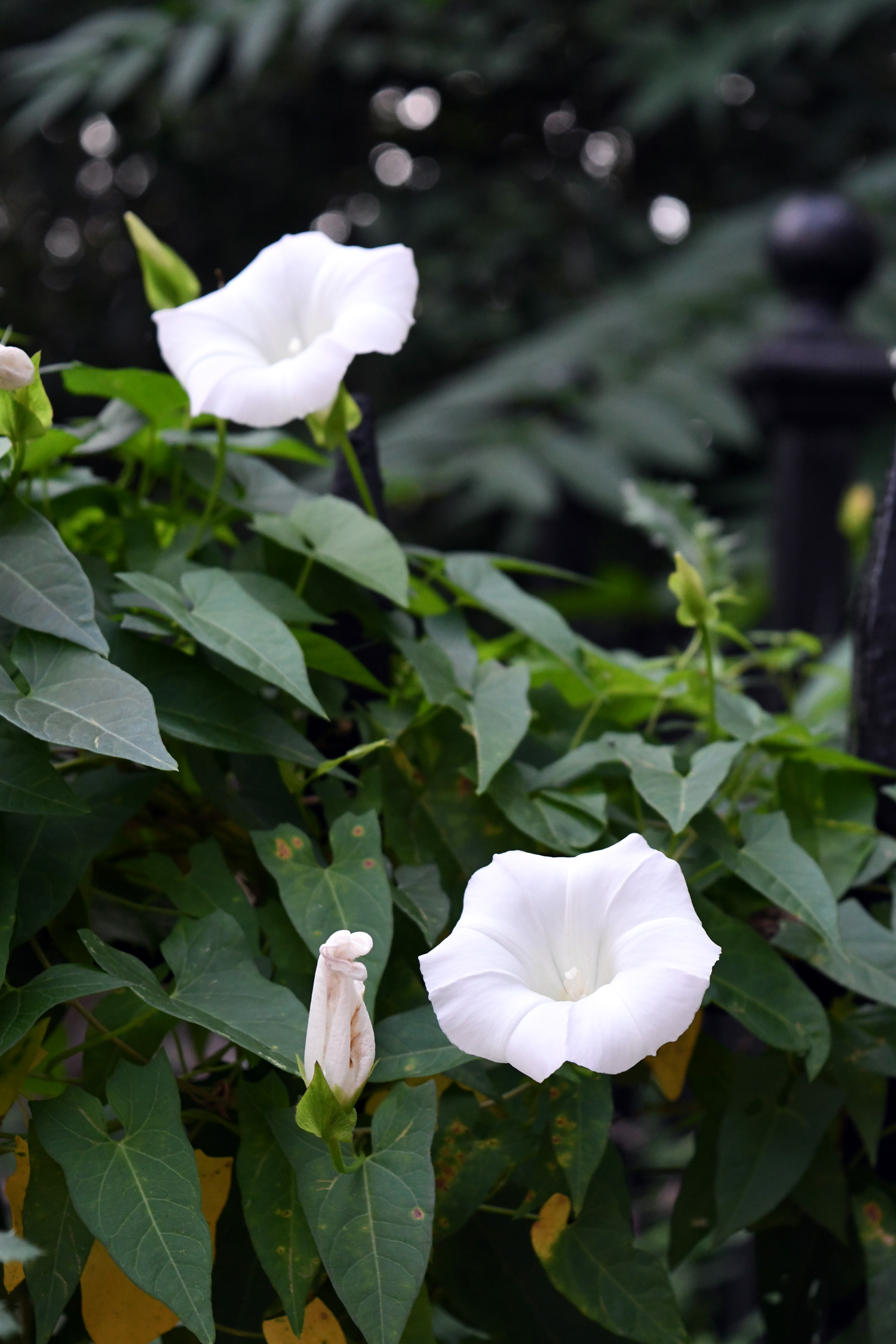 Morning glories, Prospect Park