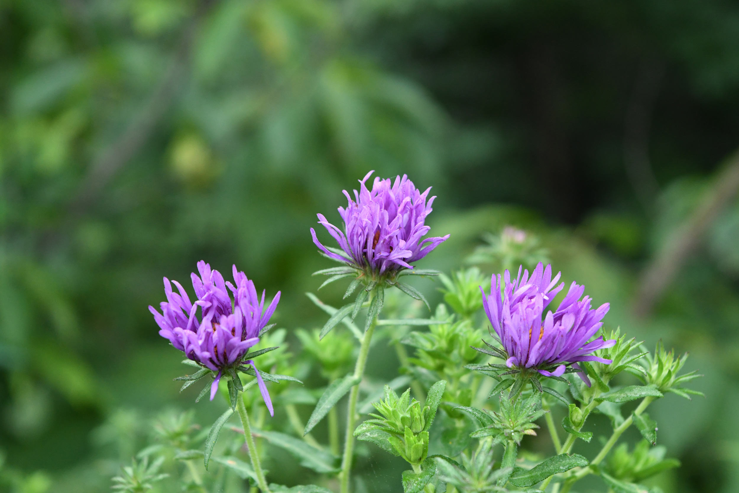 Purple asters, Prospect Park