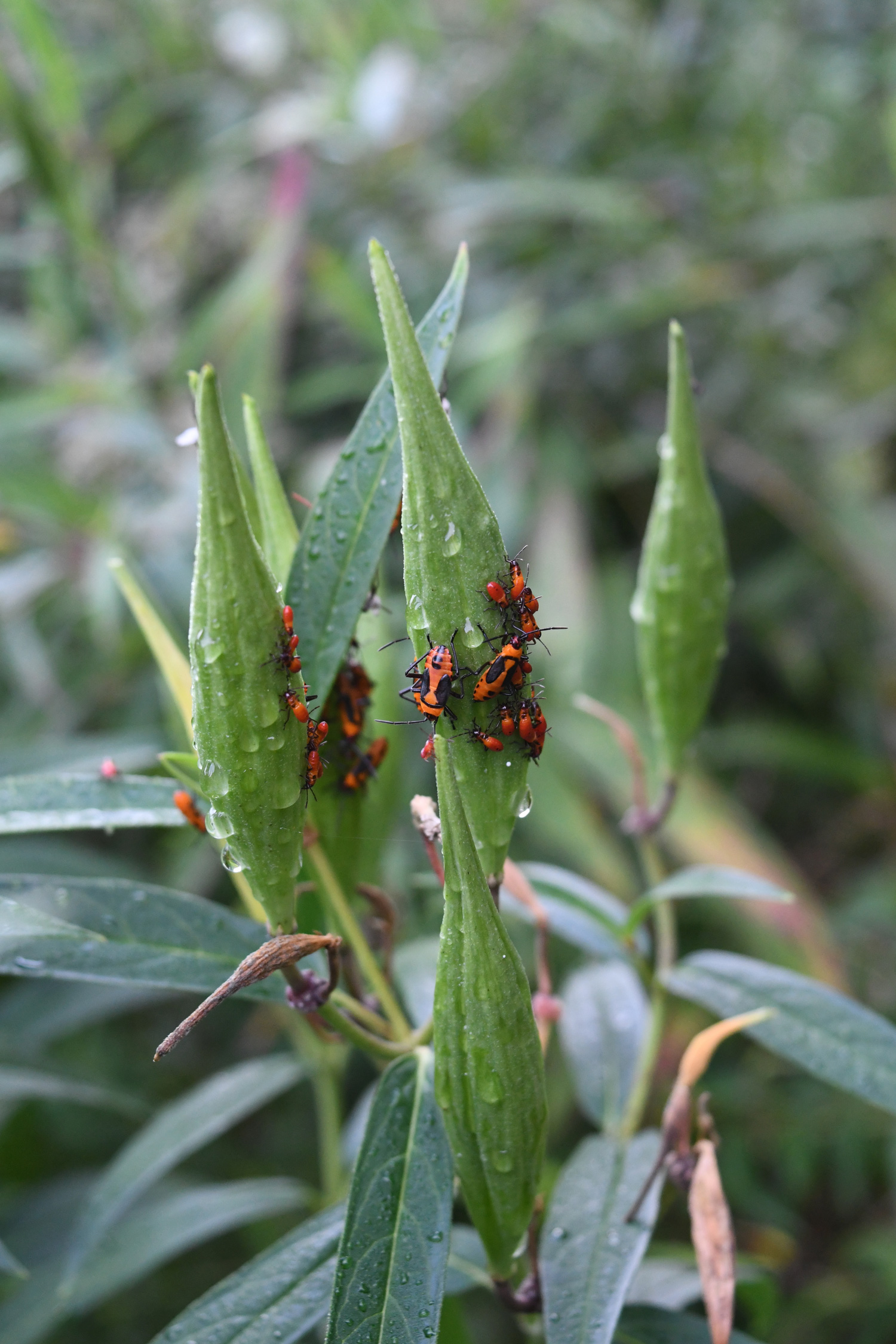 Red beetles on milkweed pod