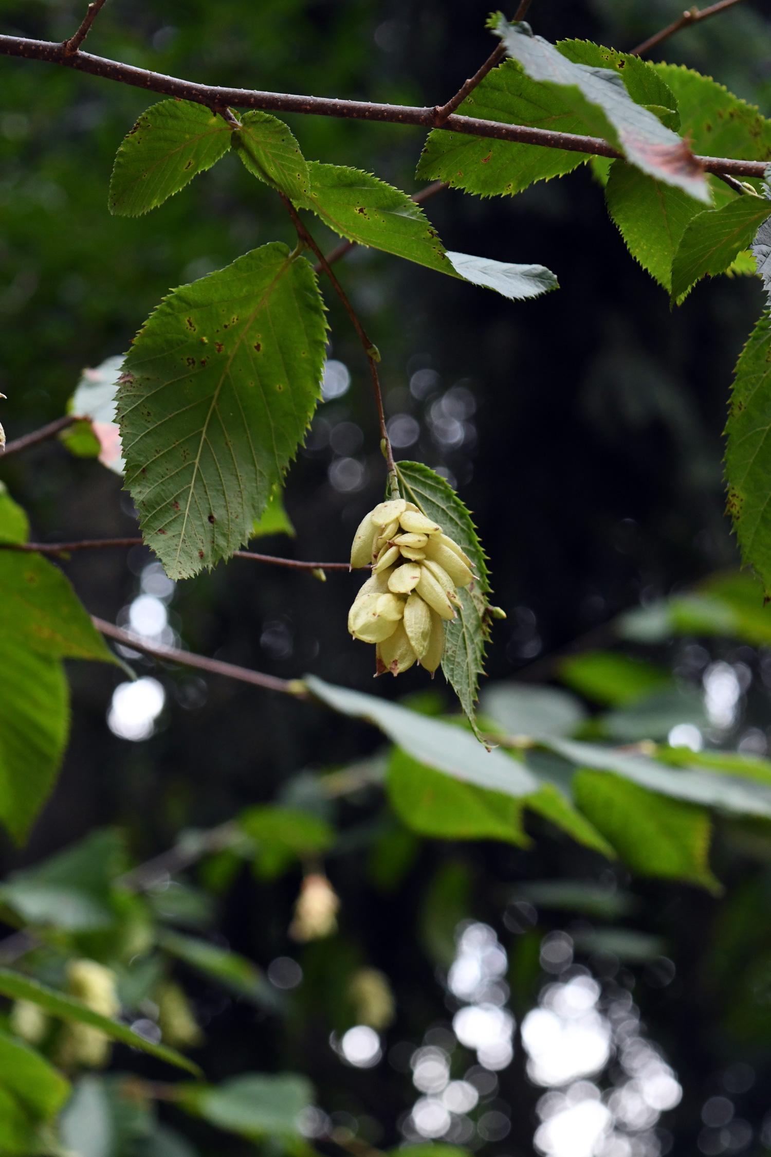 Seed pods, Eastern hophornbeam, Prospect Park
