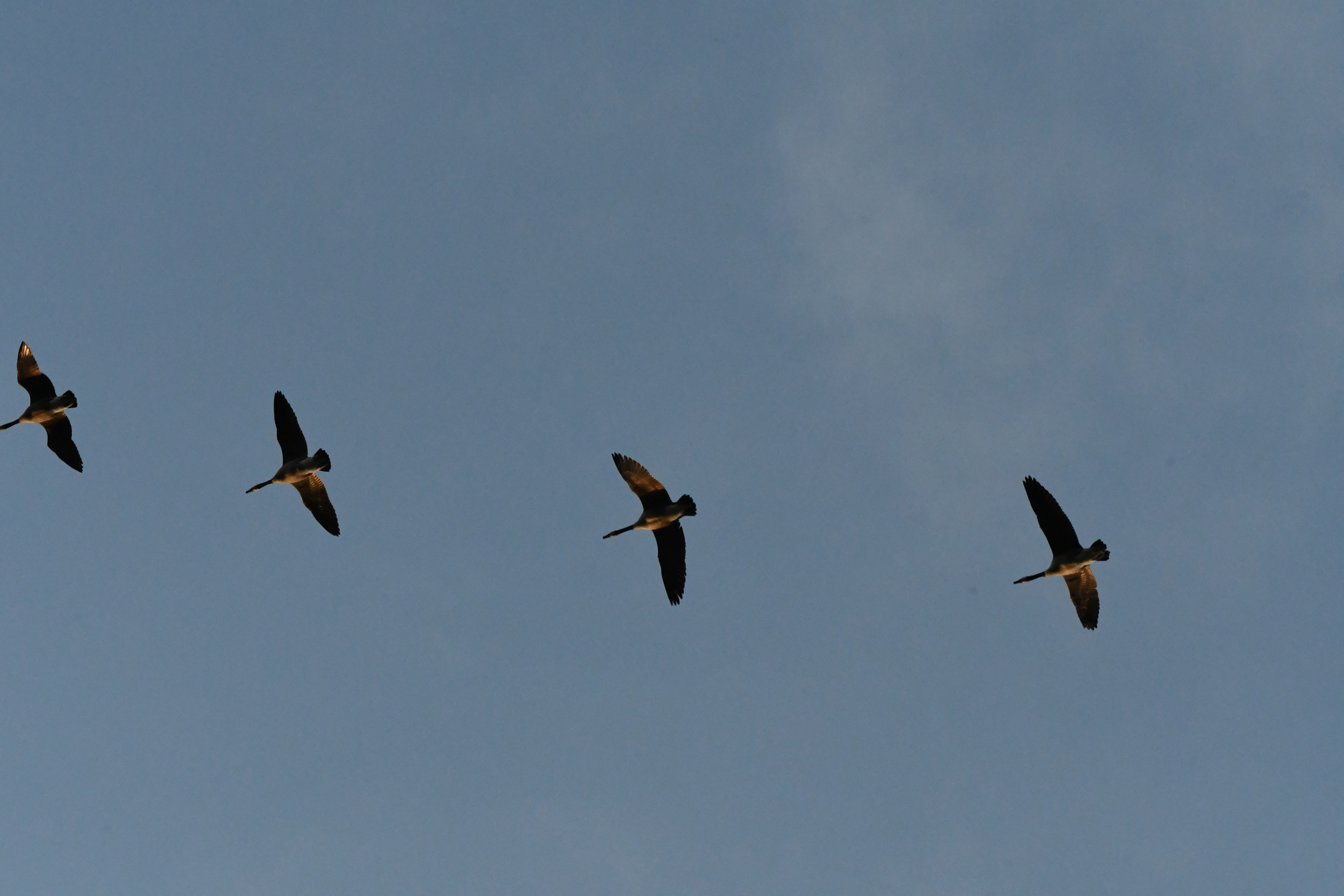 Canada geese, Prospect Park
