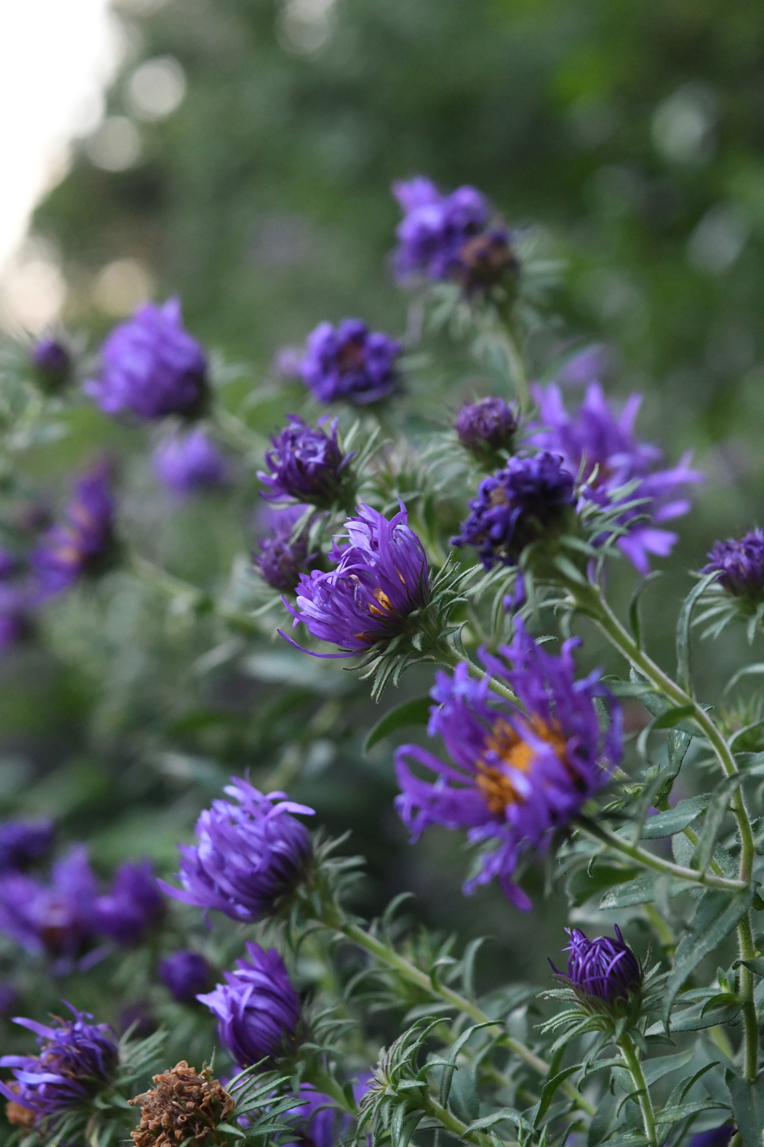 Dying asters, Prospect Park