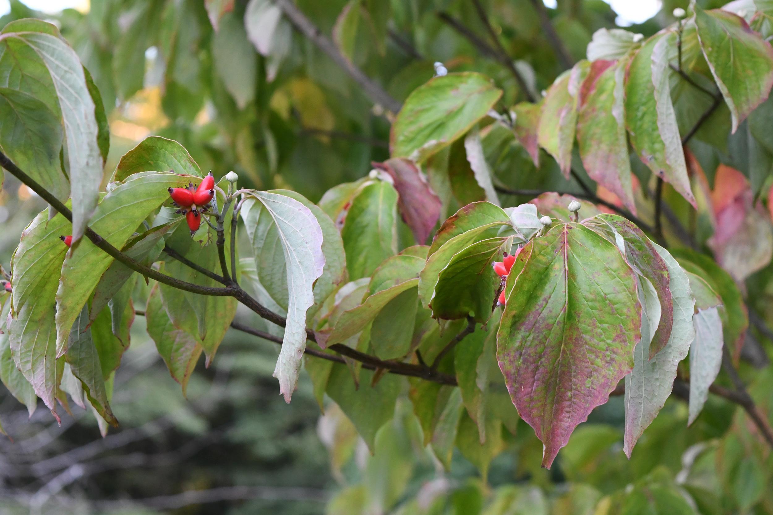 Flowering dogwood, Prospect Park
