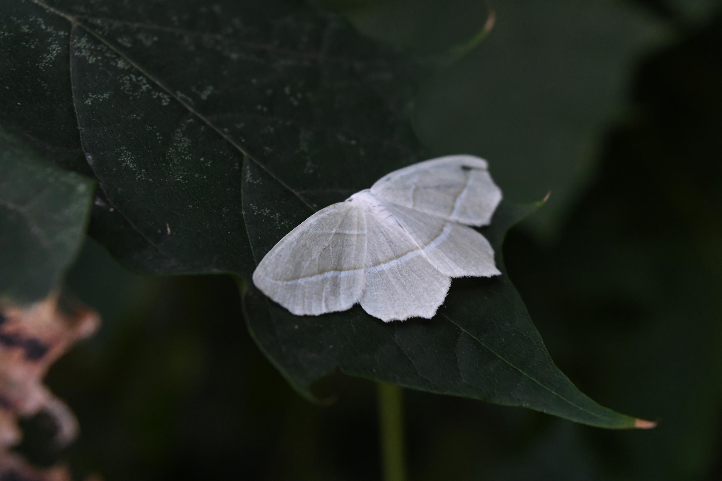 Pale beauty moth, Prospect Park