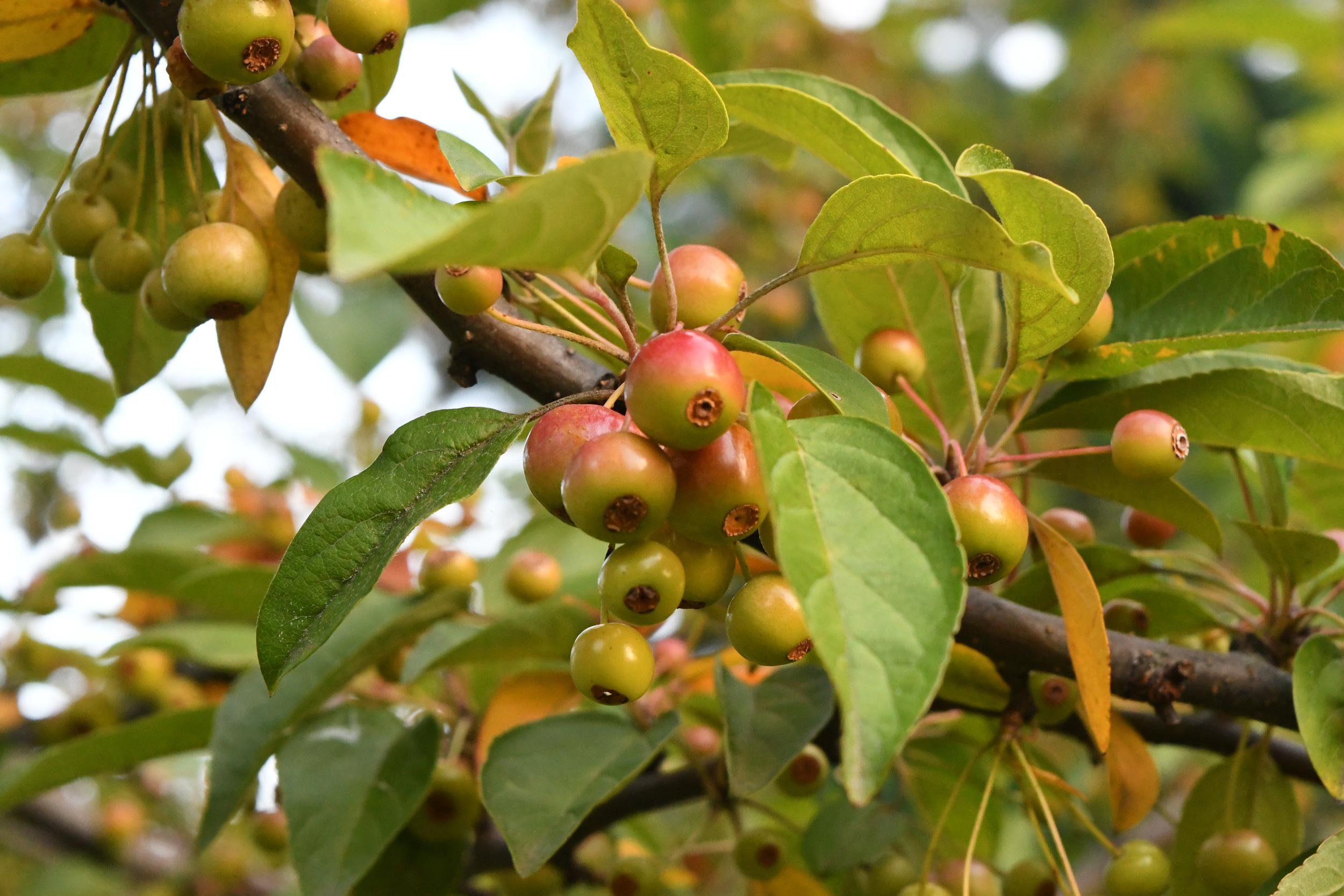 Pin cherry, Prospect Park