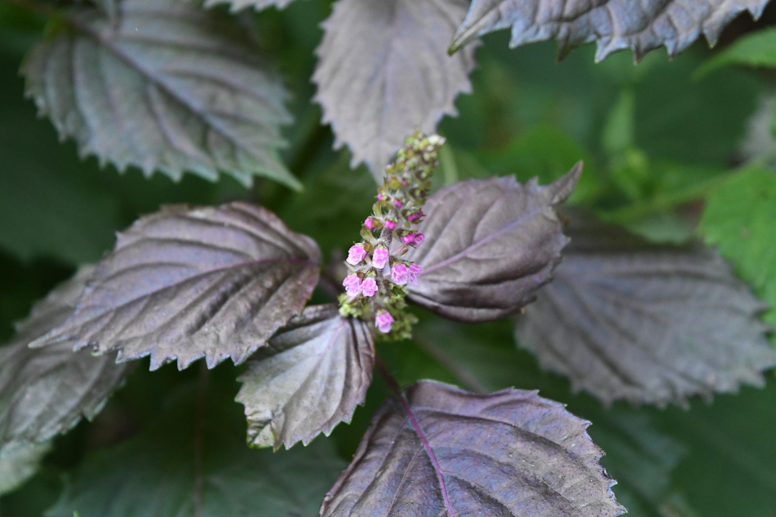 Pink spiked flower, Prospect Park