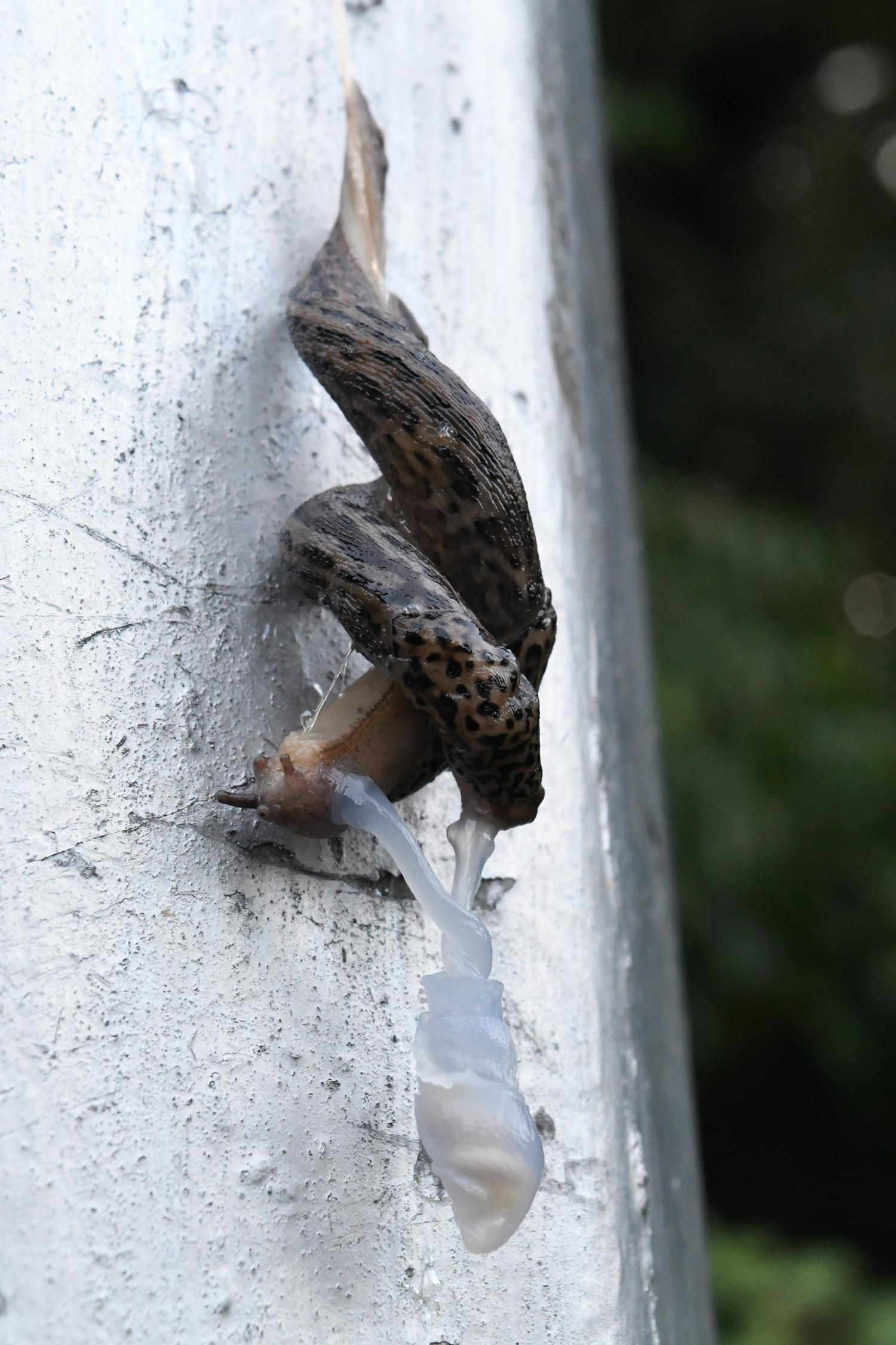 Slug copulation, Prospect Park