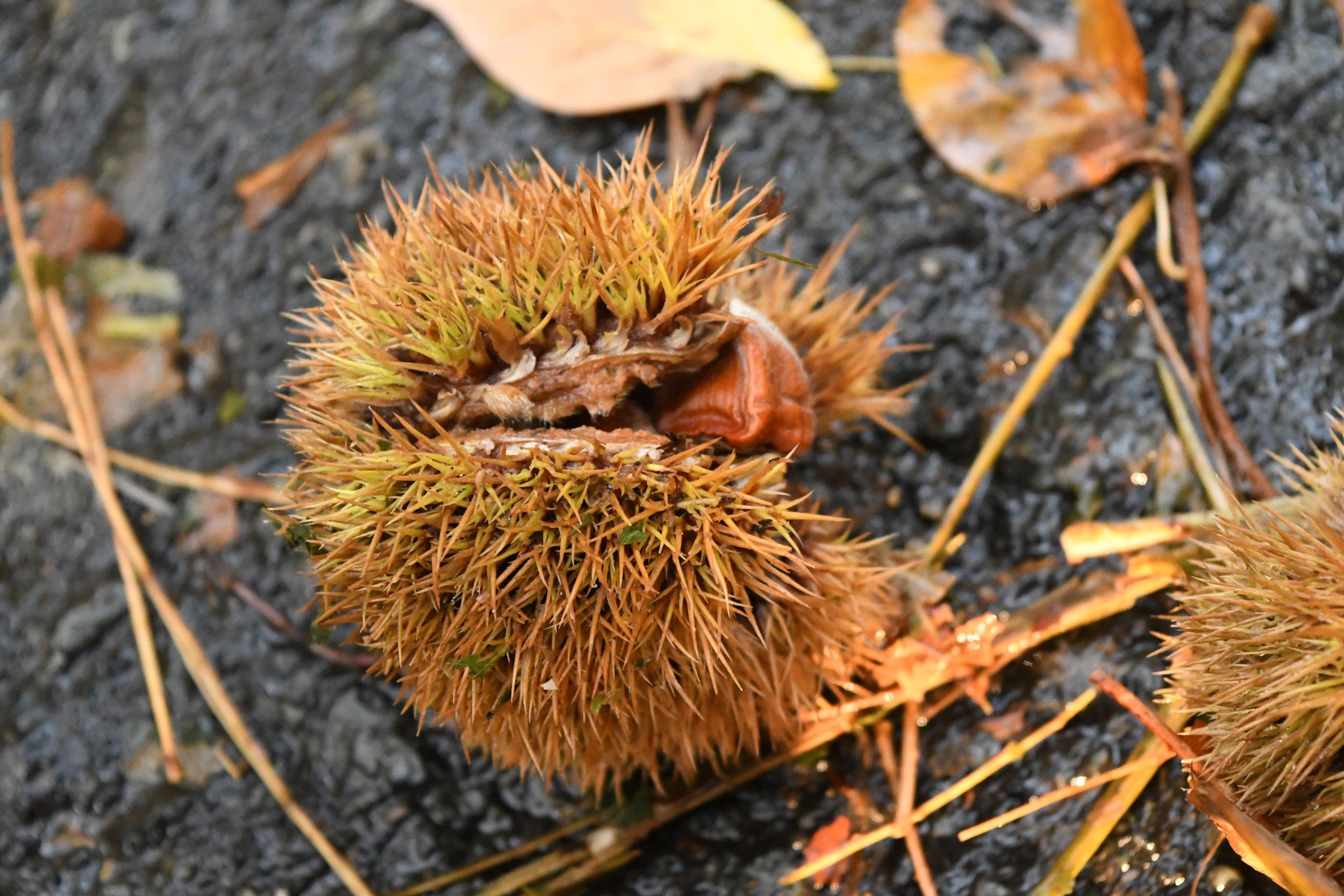 American chestnut pod, Prospect Park
