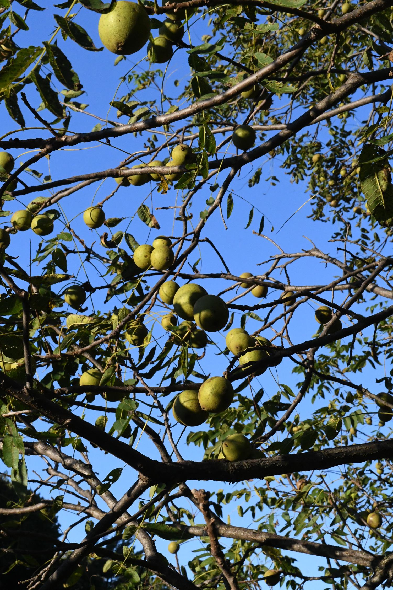 Black walnut, Prospect Park