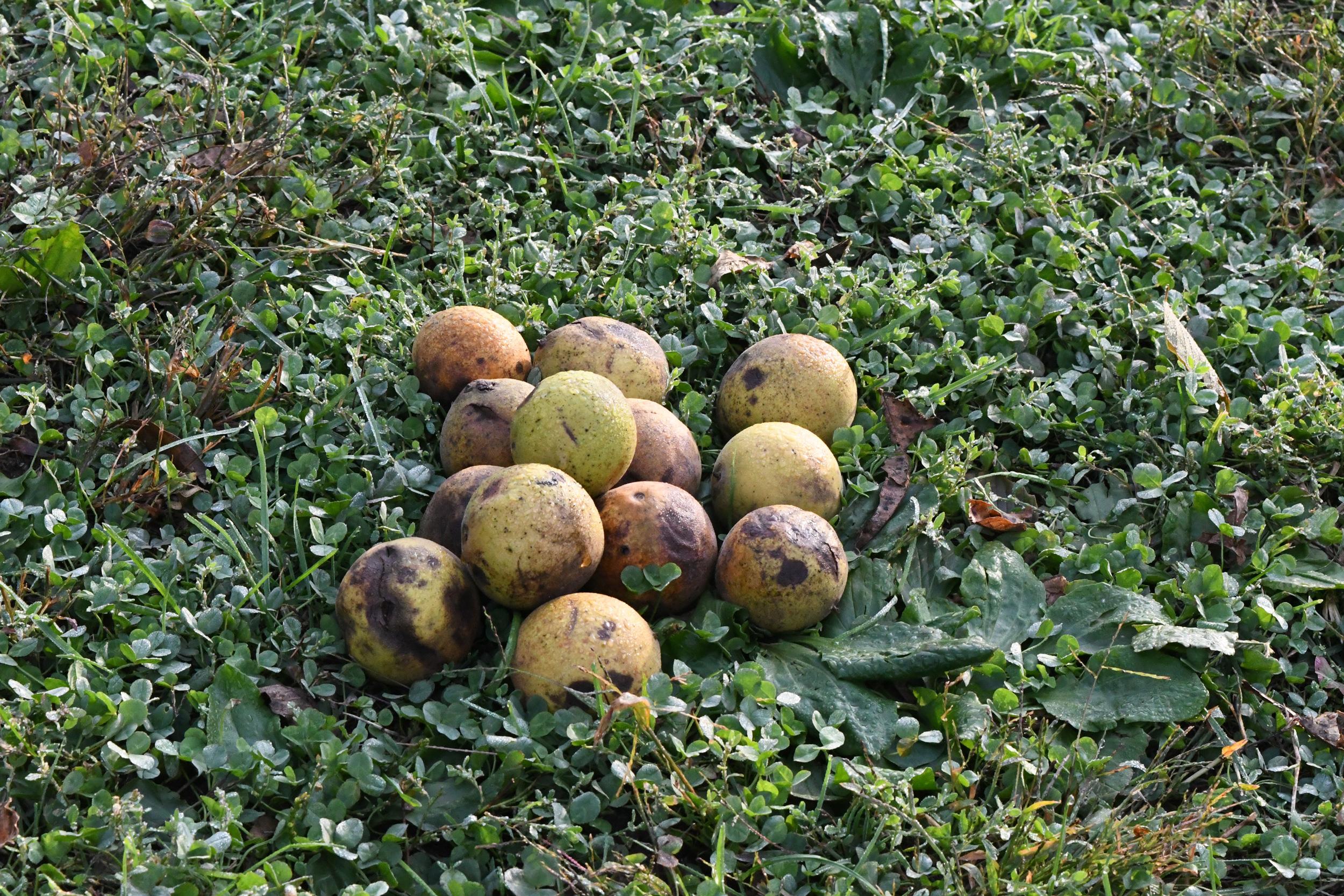 Black walnuts, Prospect Park