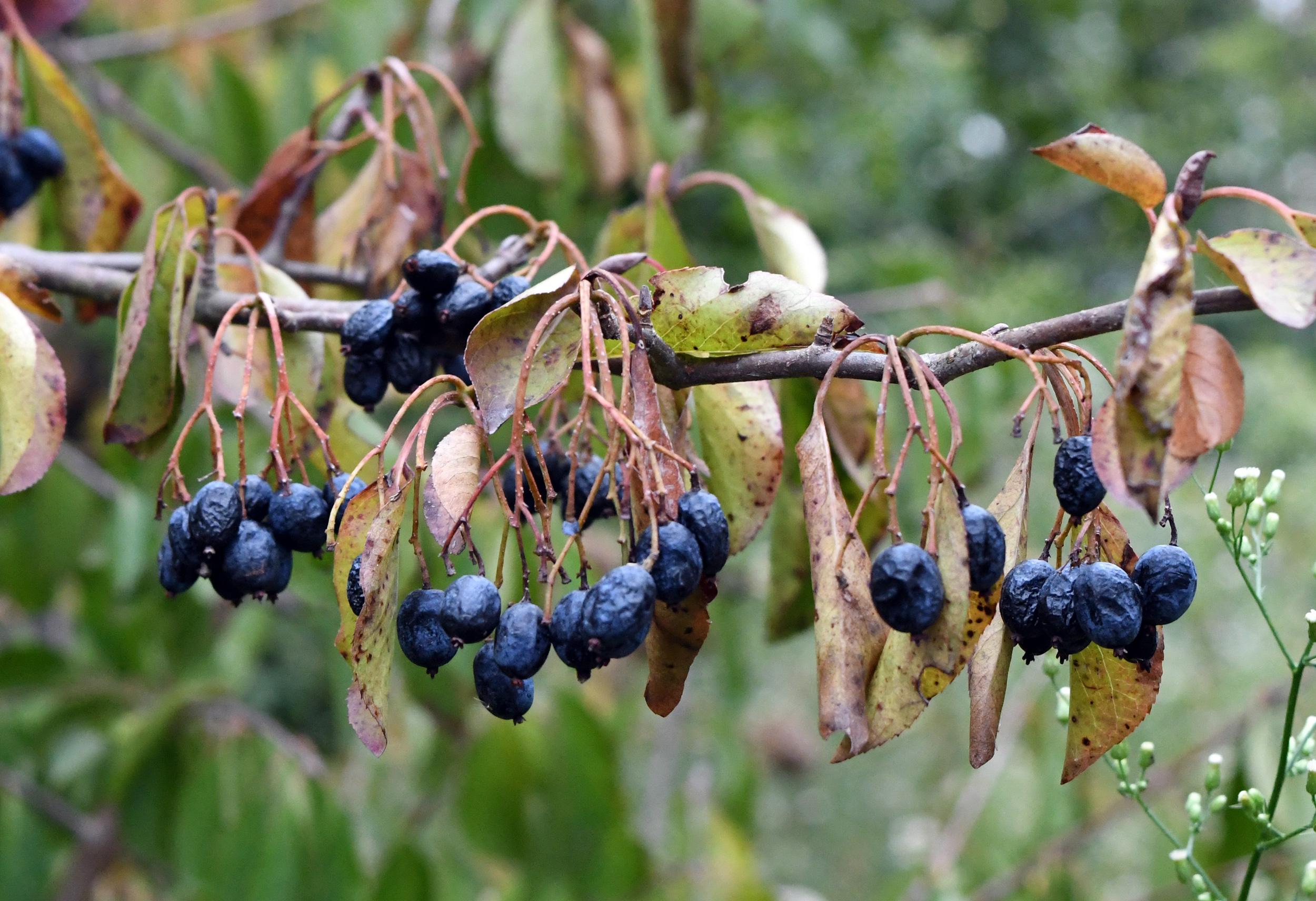 Blue tree fruit, Prospect Park