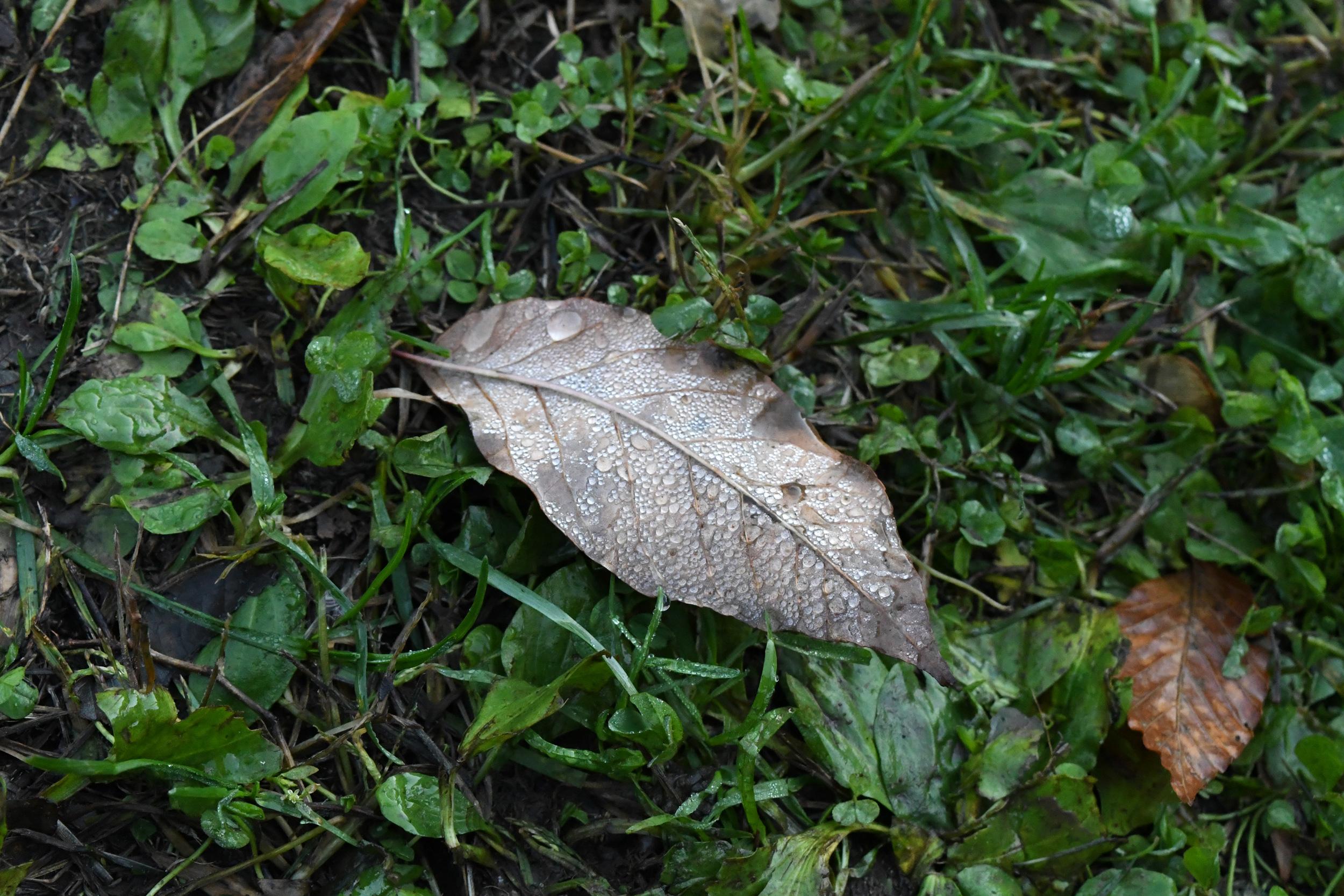 Dew on fallen leaf, Prospect Park
