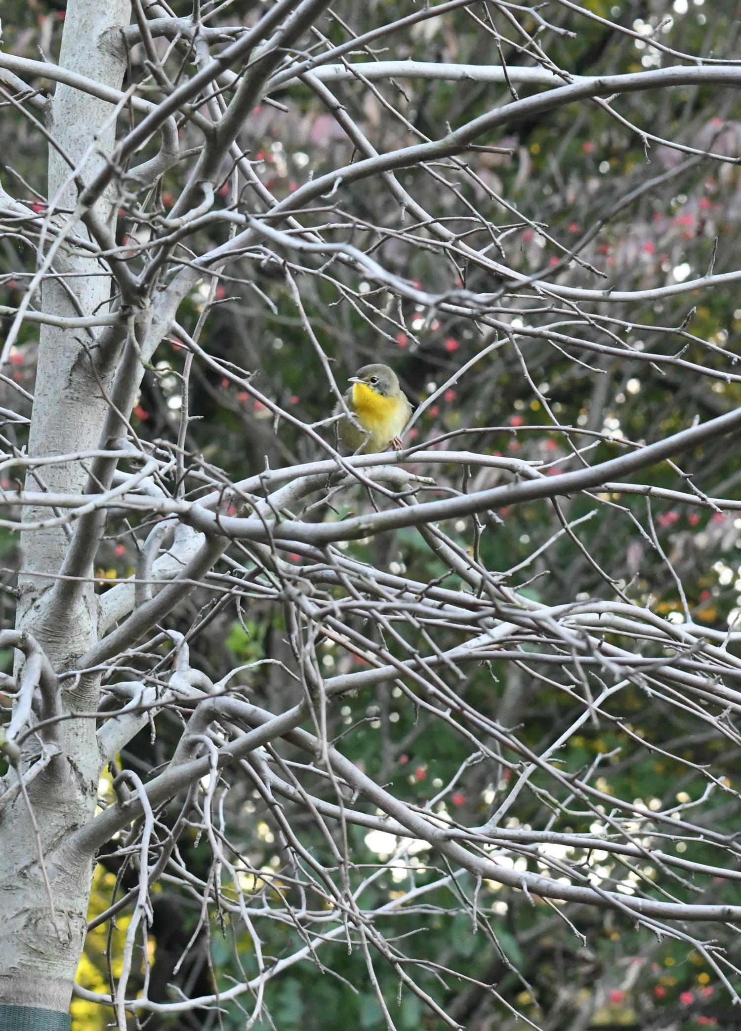Female common yellowthroat, Prospect Park