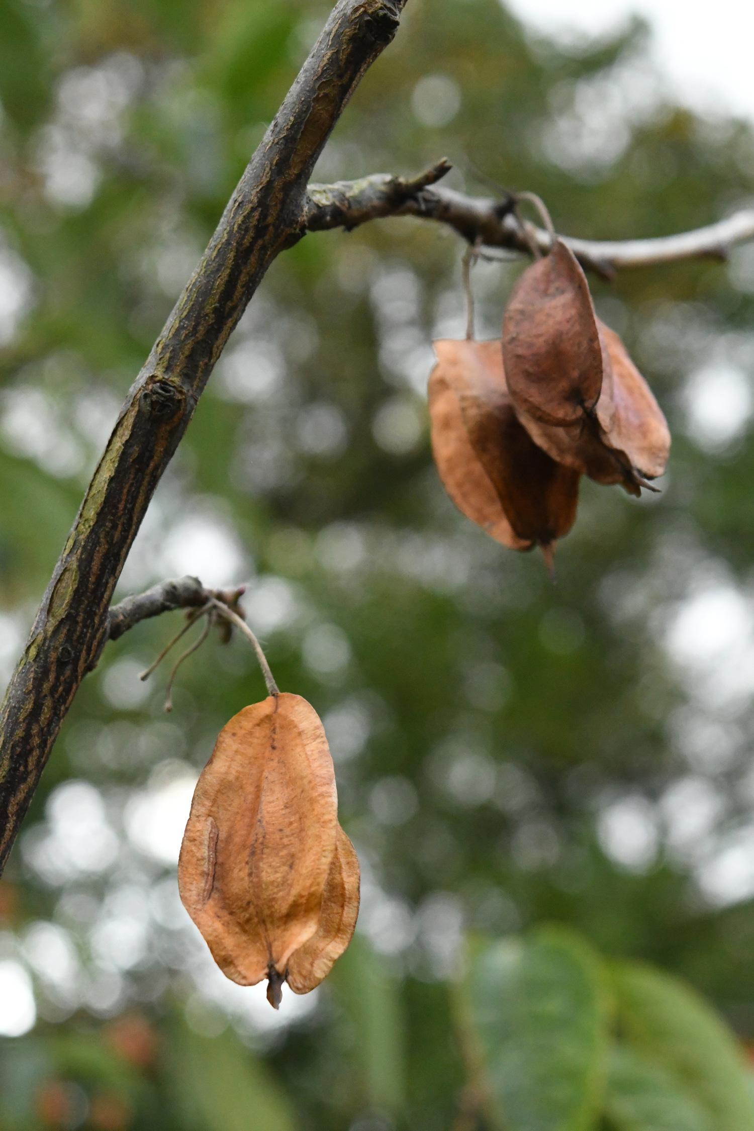 Unidentified tree fruit, Prospect Park