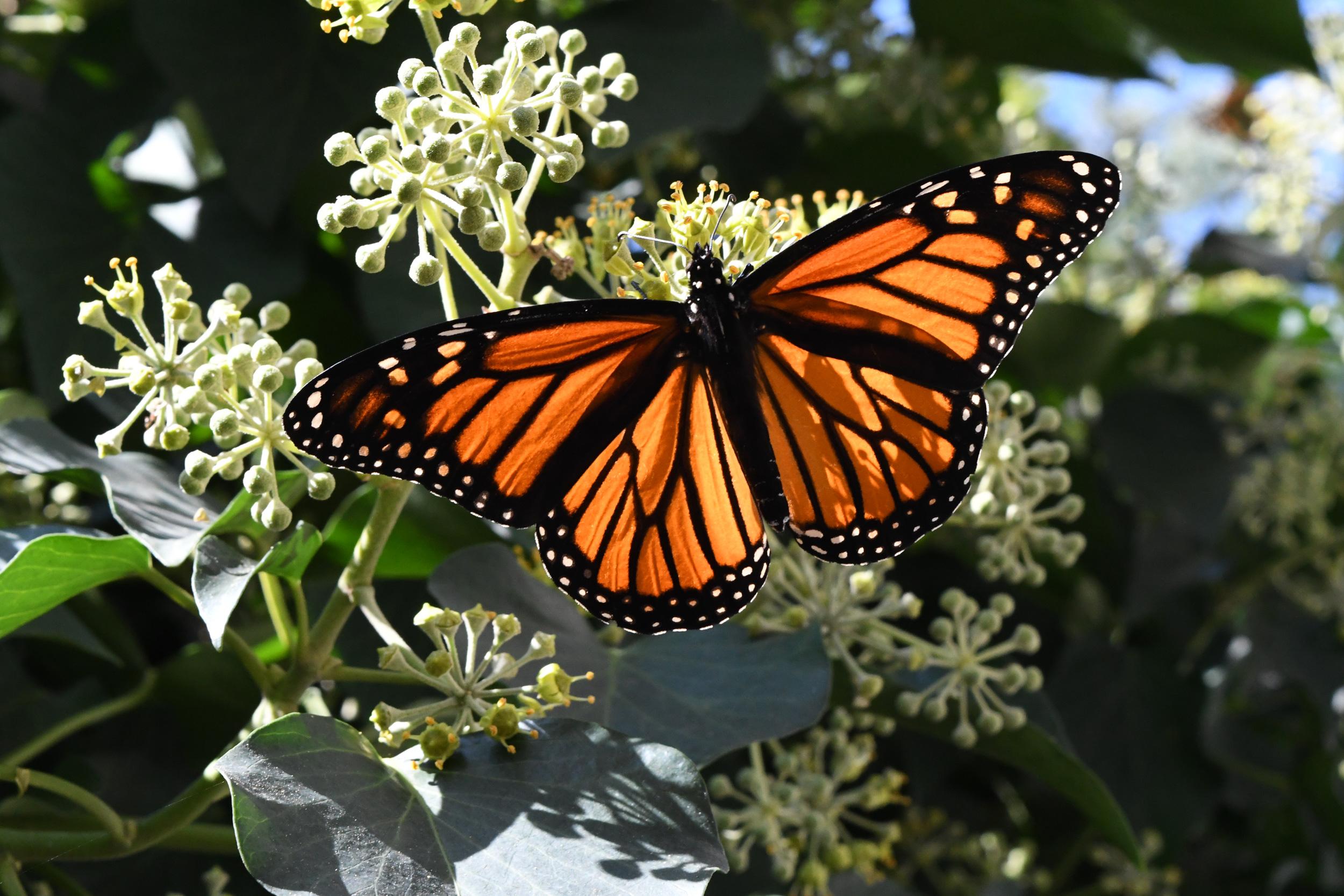 Monarch butterfly, Windsor Terrace, Brooklyn