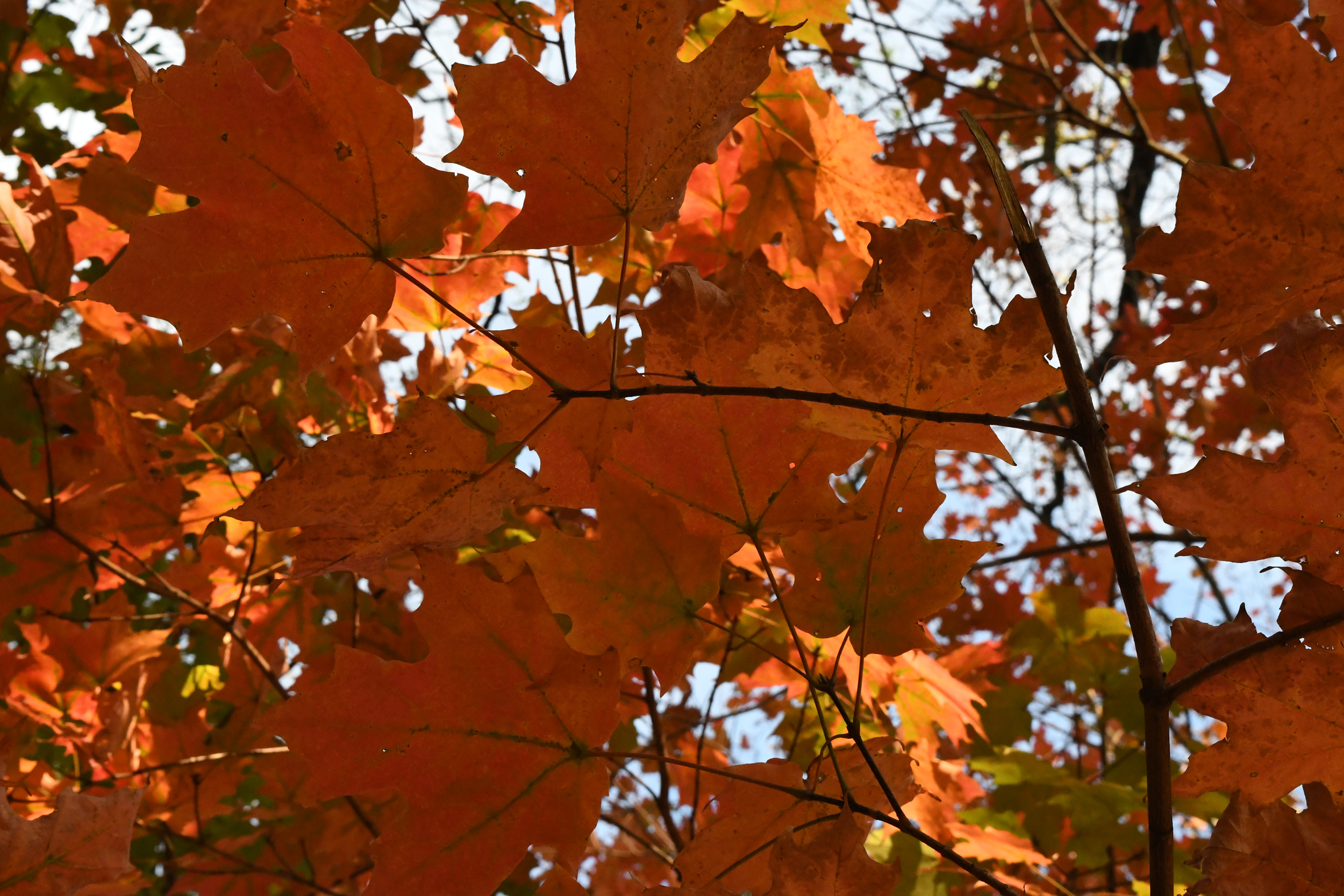 Red maple leaves, from below, Prospect Park