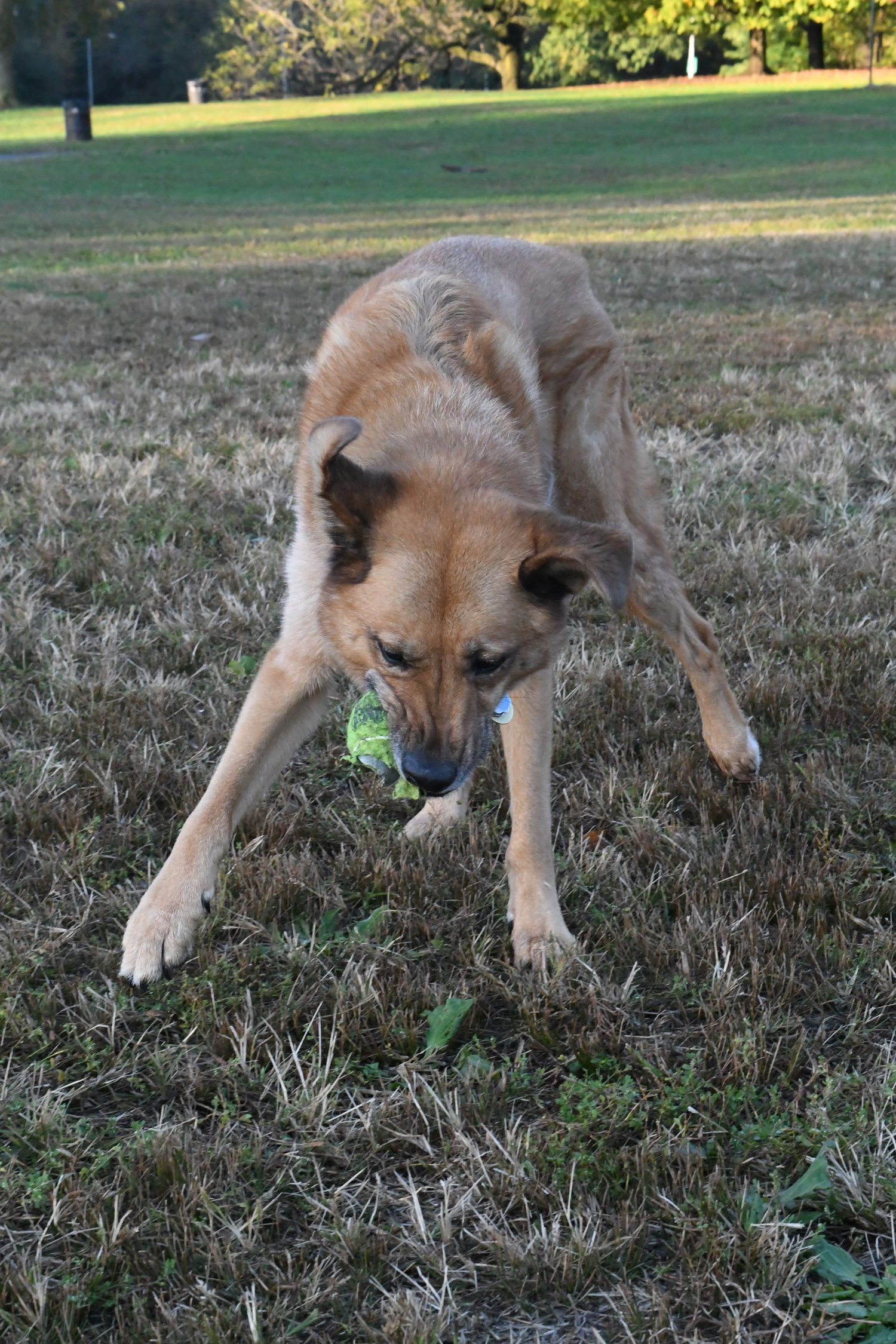 Toby with tennis ball, Prospect Park