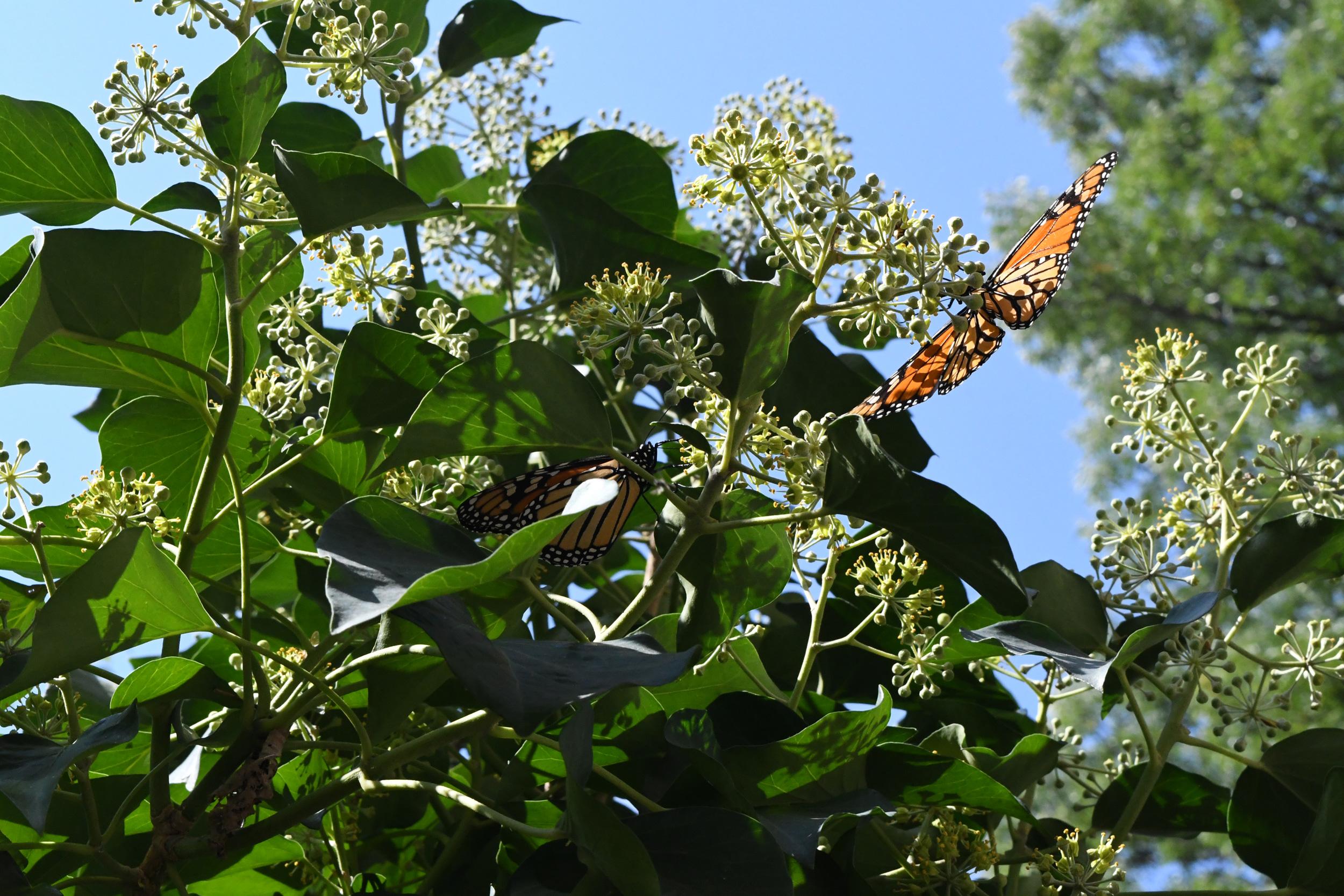 Two monarch butterflies, Windsor Terrace, Brooklyn