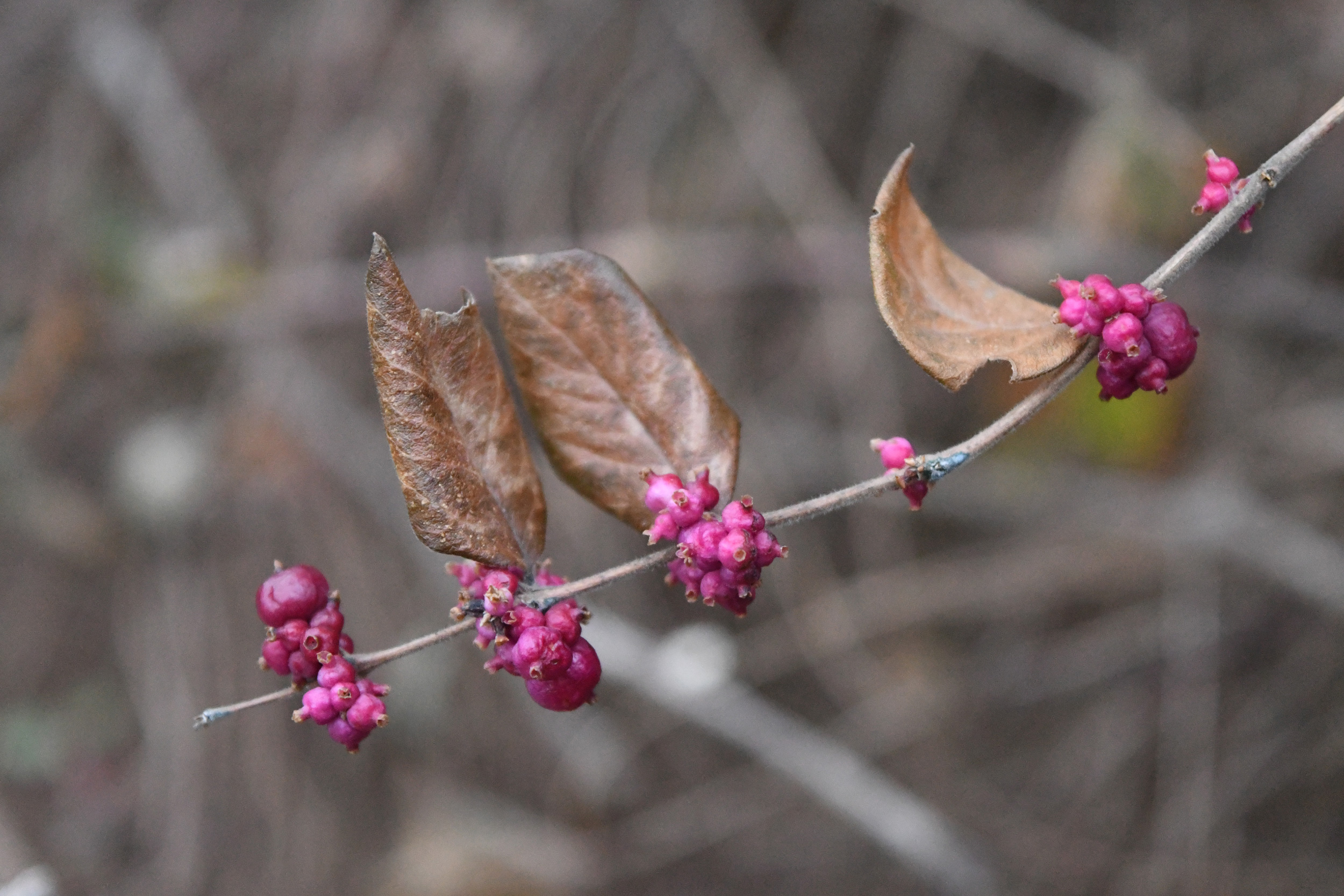 Coralberry, Prospect Park
