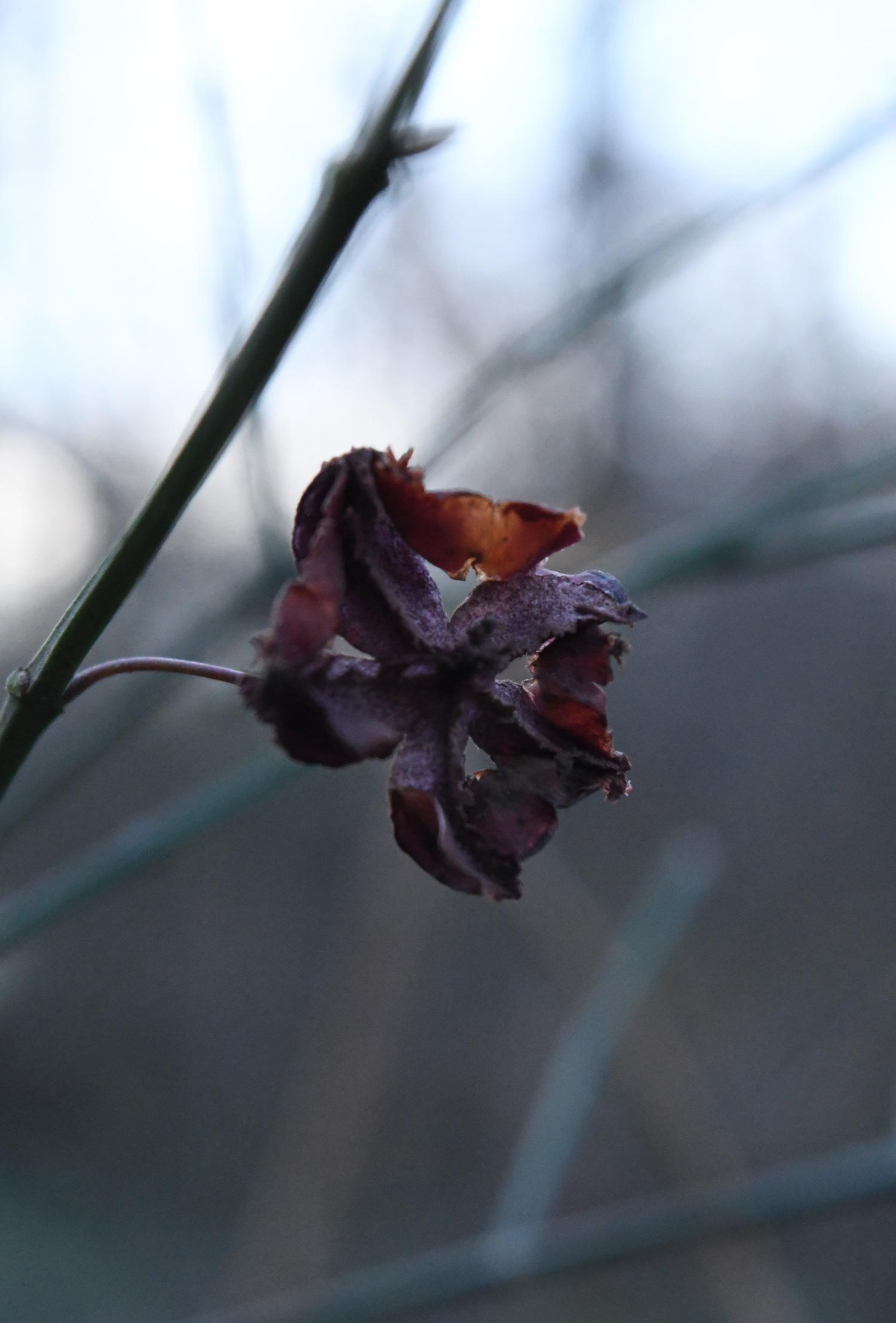 Dried Korean spindleberry, Prospect Park