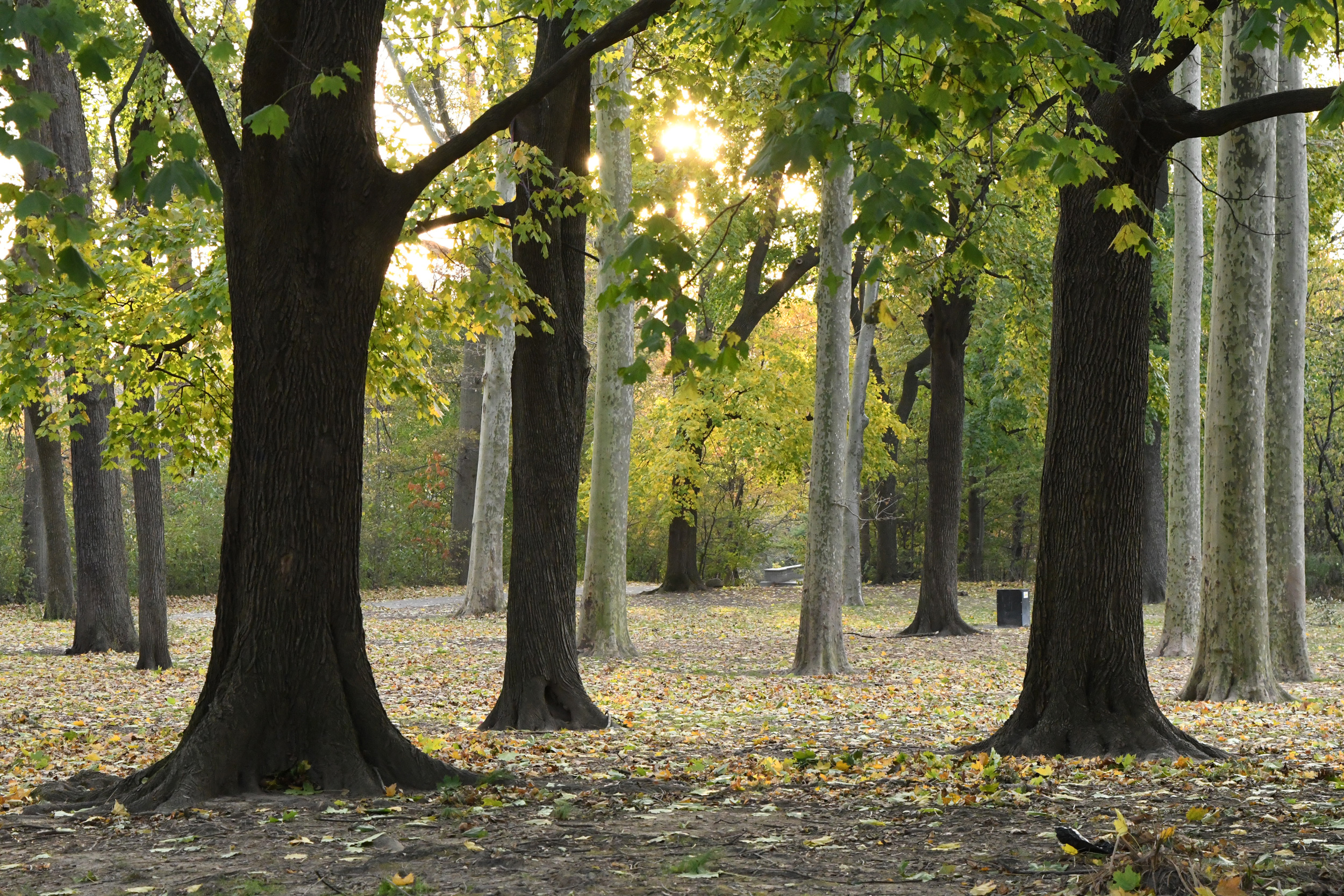 Grove of maples and sycamores, Prospect Park