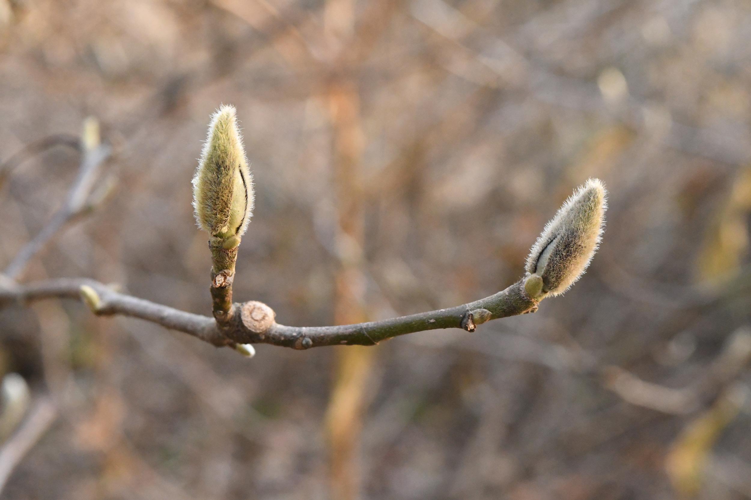 Magnolia buds, Prospect Park
