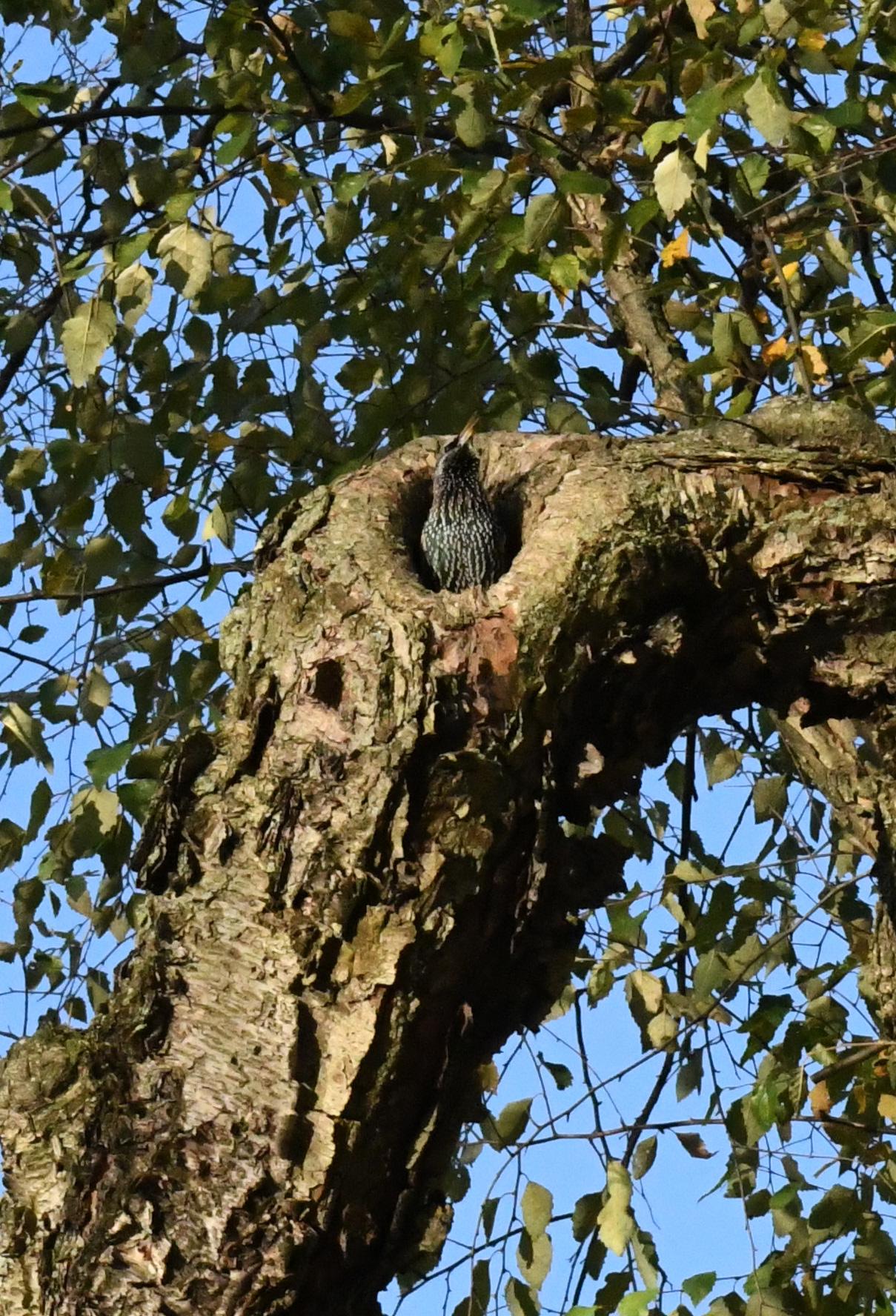 Starling singing, Prospect Park