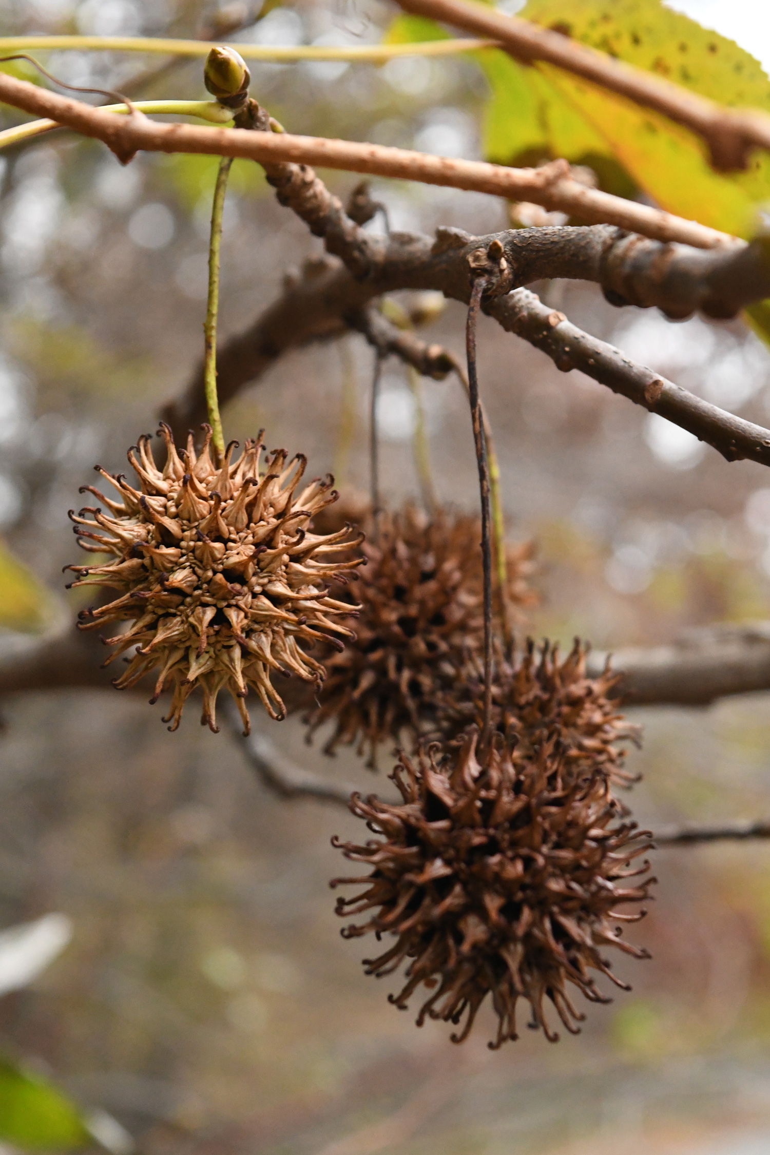 Three sweetgum pods, Prospect Park
