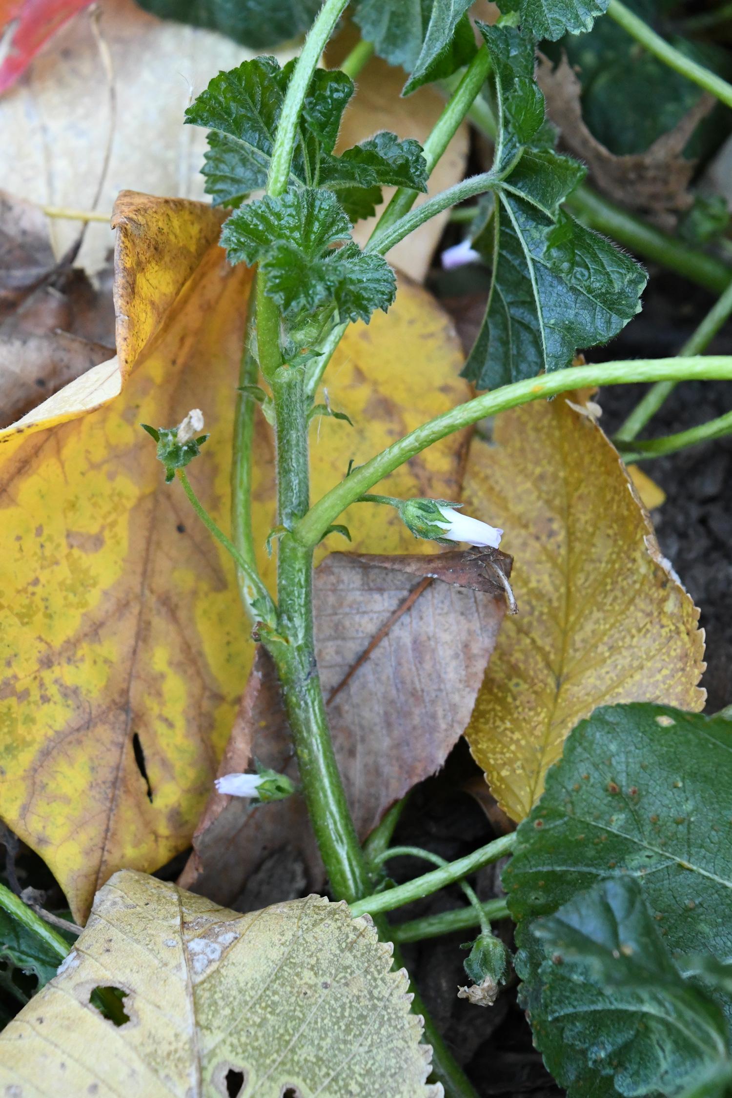 Wild geranium, Prospect Park