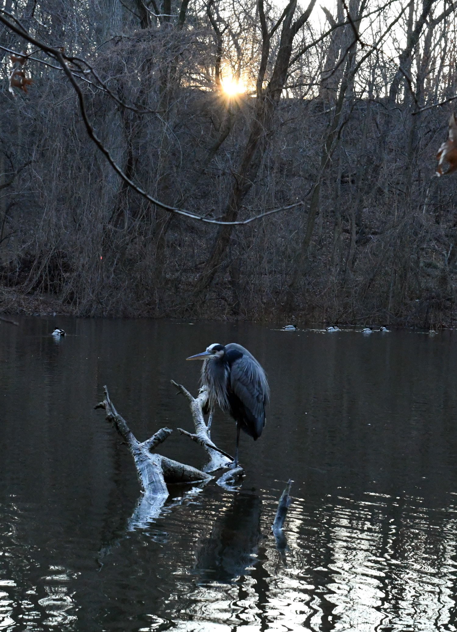 Great blue heron, Prospect Park