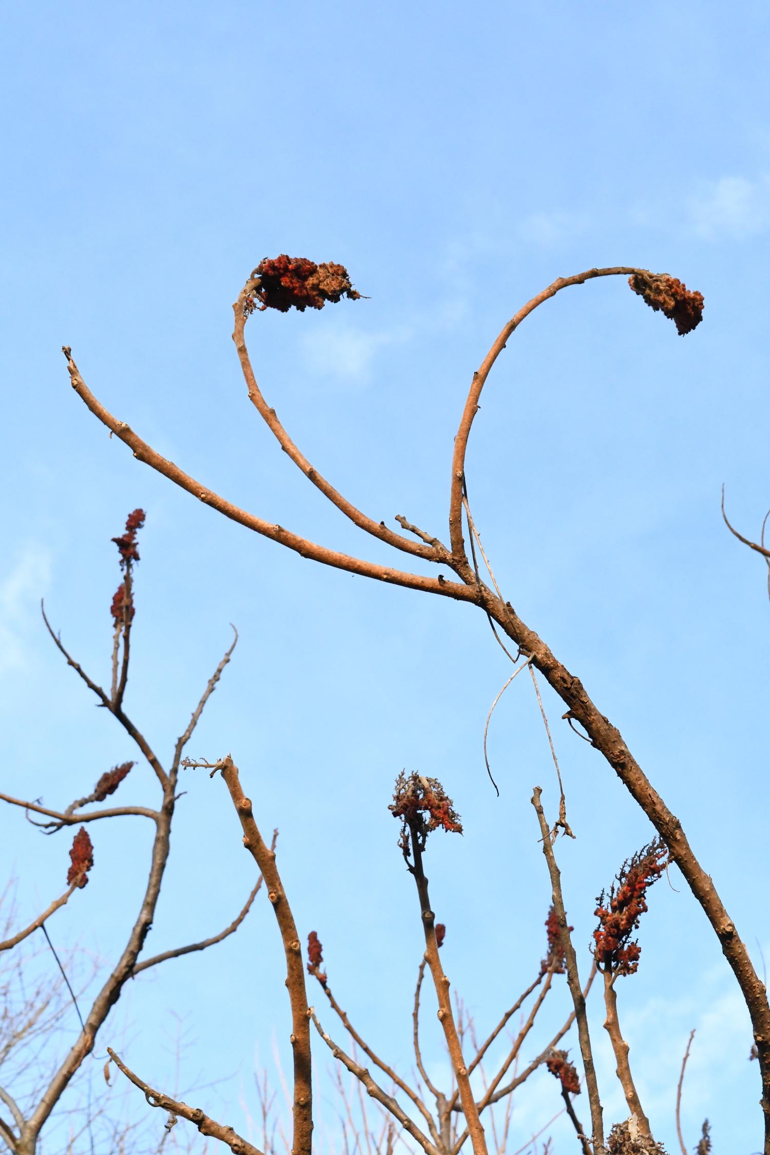 Staghorn sumac, Prospect Park