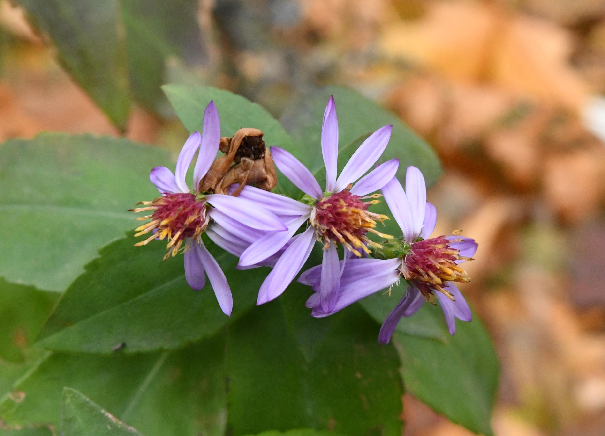 Purple asters, Prospect Park