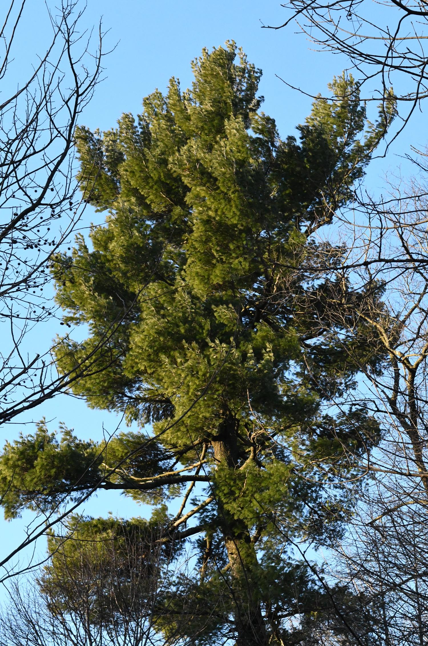 Pine, Prospect Park
