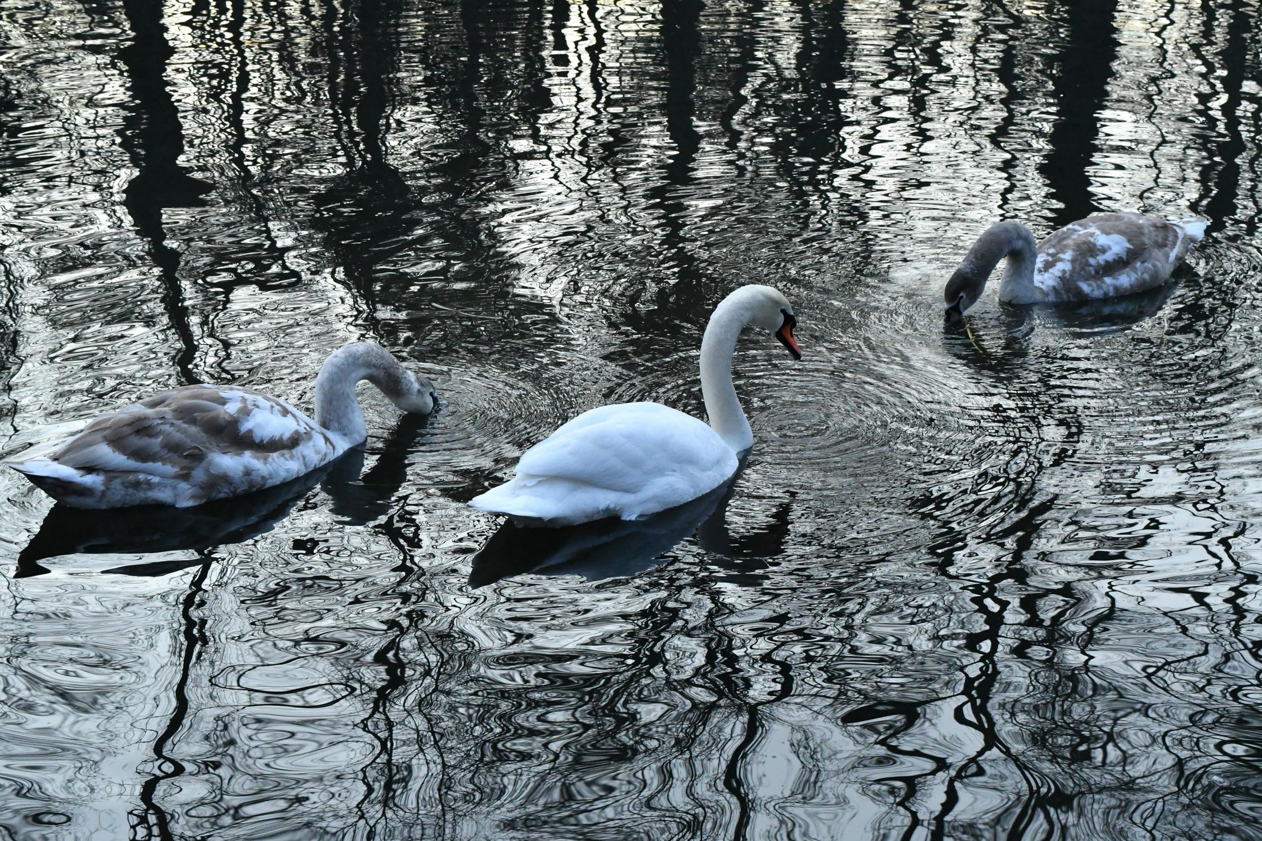 Three swans, Prospect Park