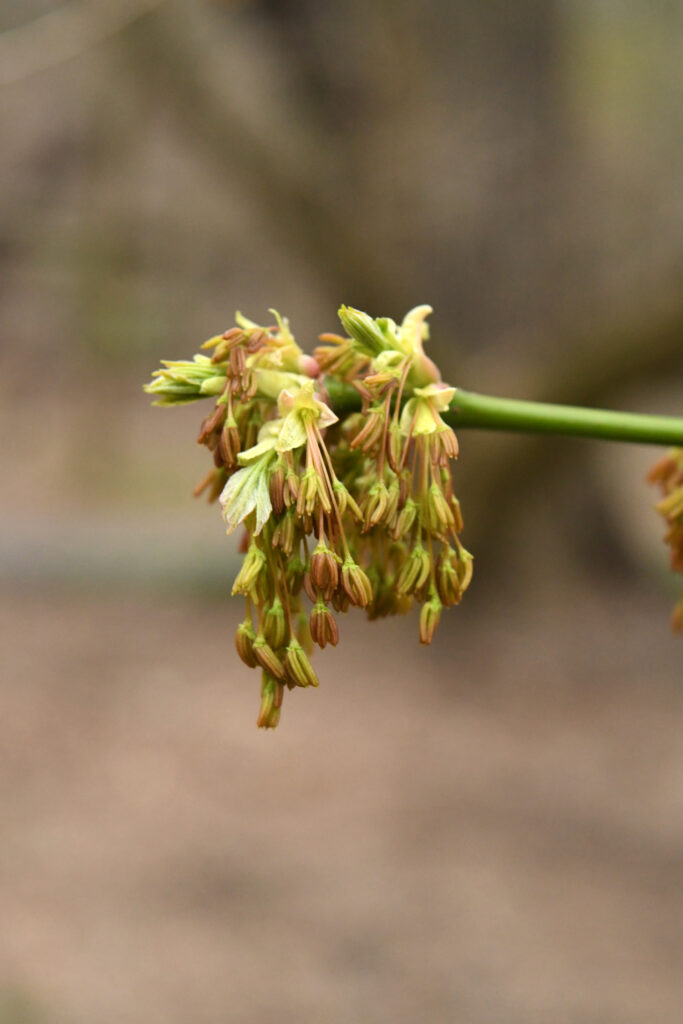 Boxelder maple flowers, Prospect Park