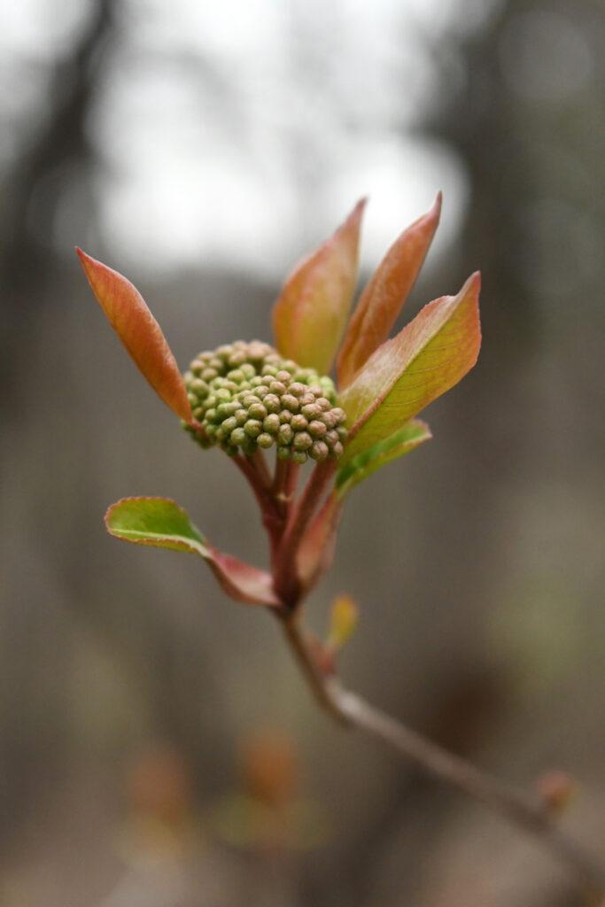Viburnum buds, Prospect Park