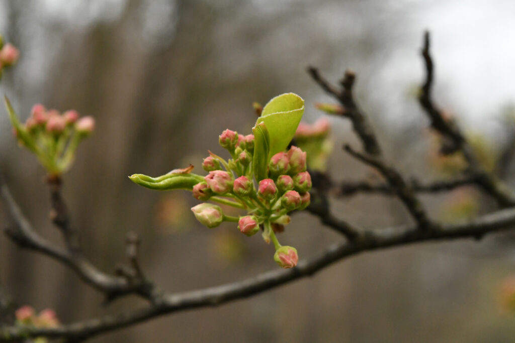 Crab apple buds, Prospect Park