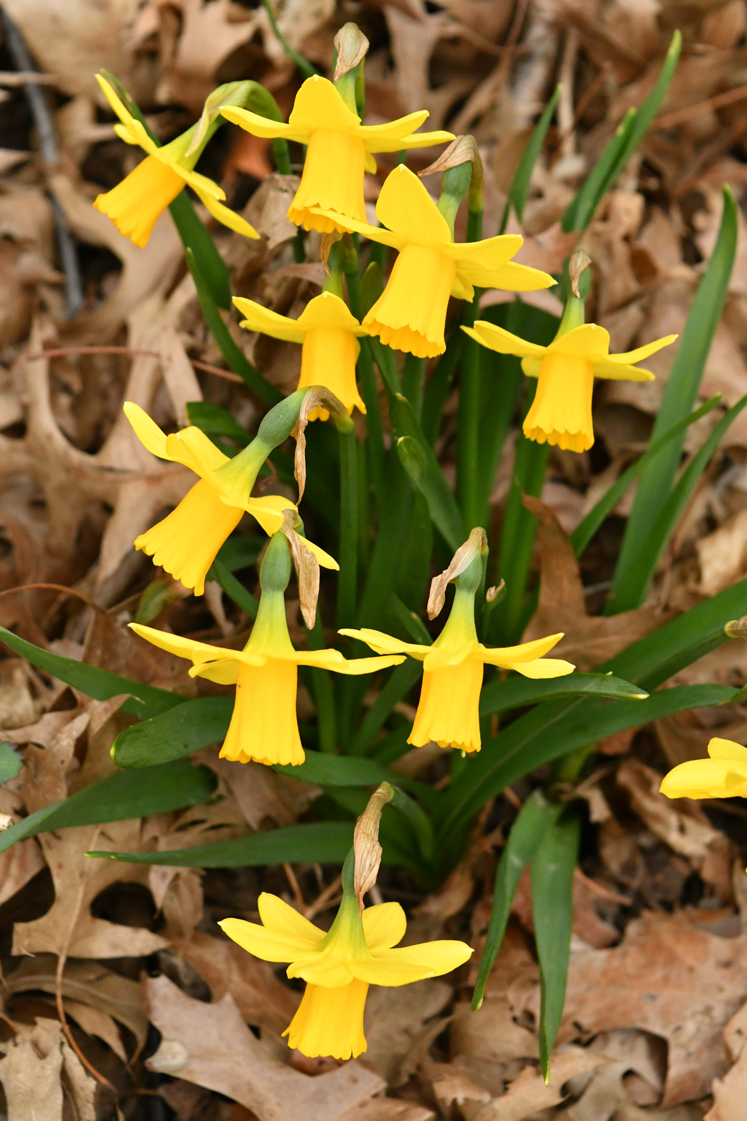 Daffodils, Prospect Park