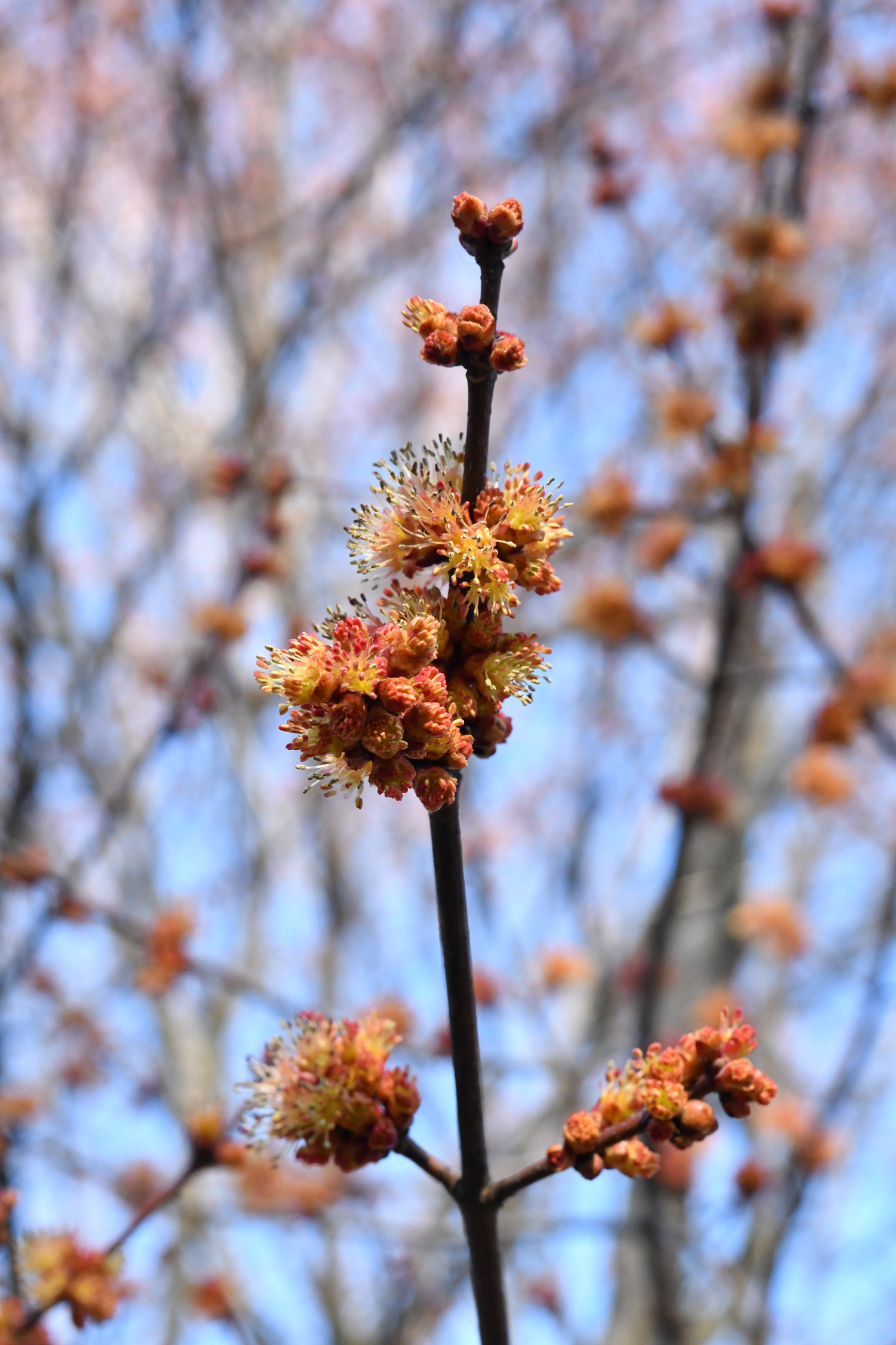 Red maple in flower, Prospect Park