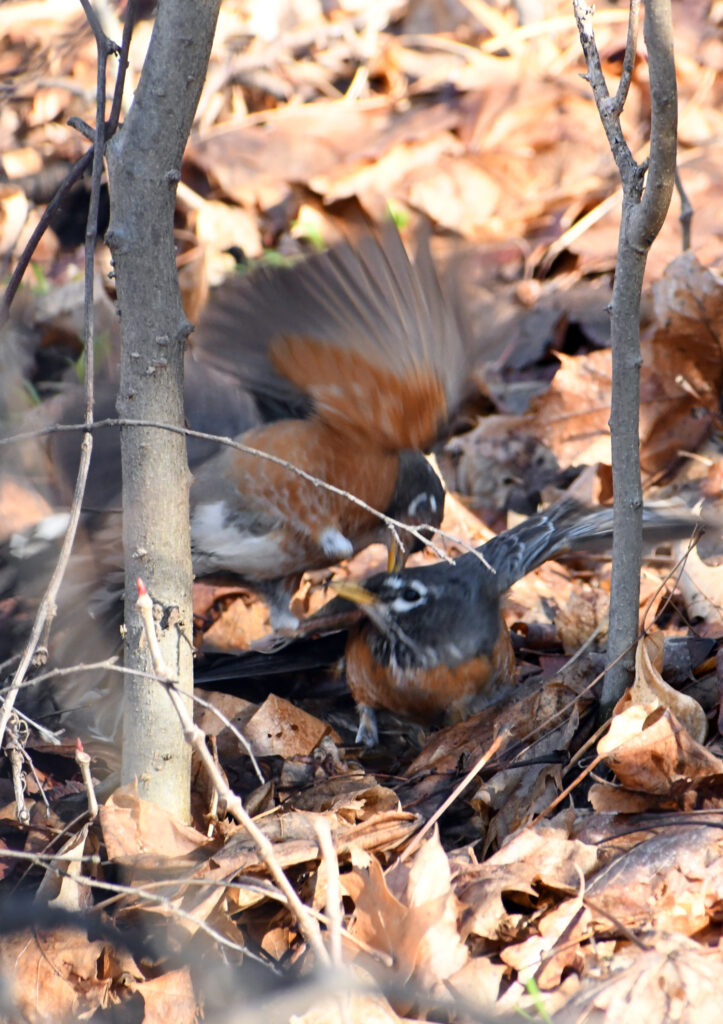 Robins, Prospect Park