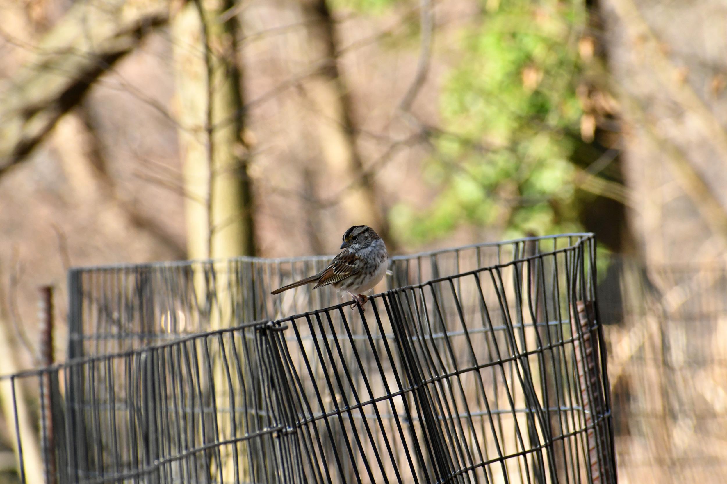 Sparrow, Prospect Park