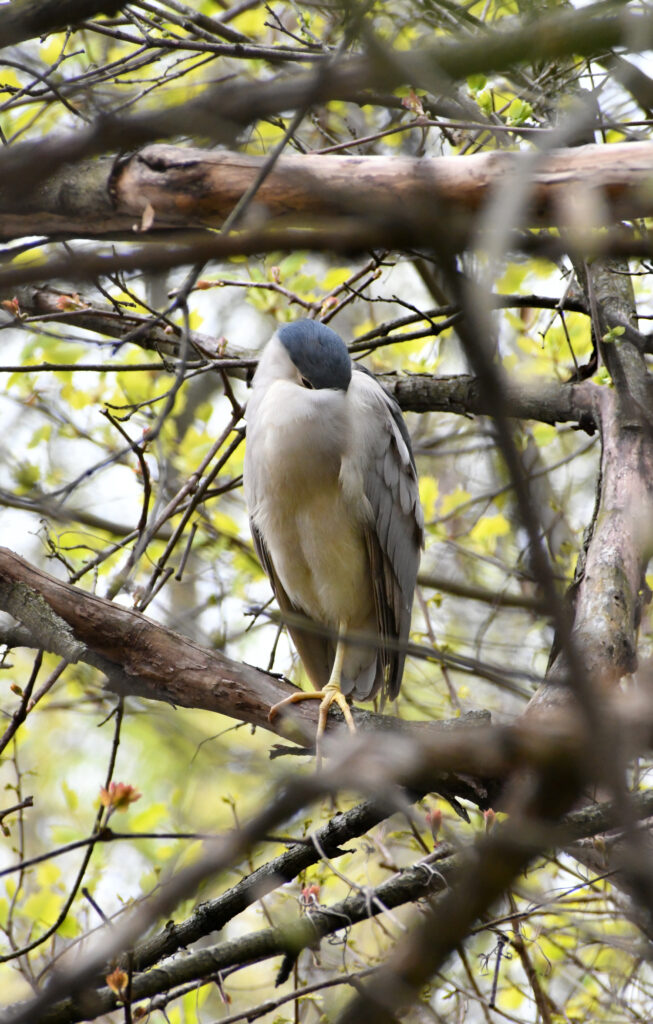 Black-crowned night heron (first summer), sleeping, Prospect Park