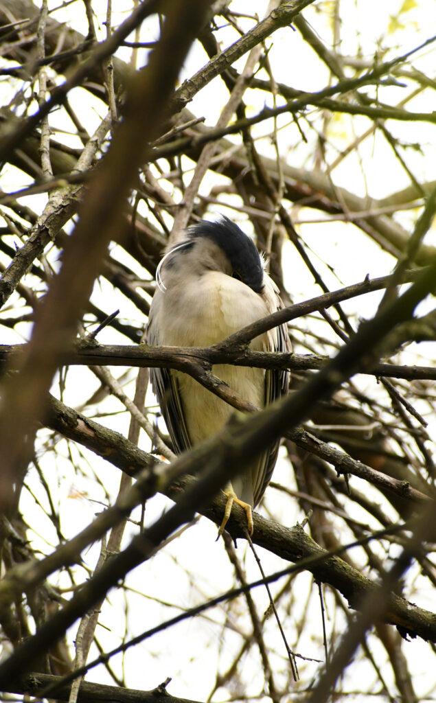 Black-crowned night heron (adult), sleeping, Prospect Park