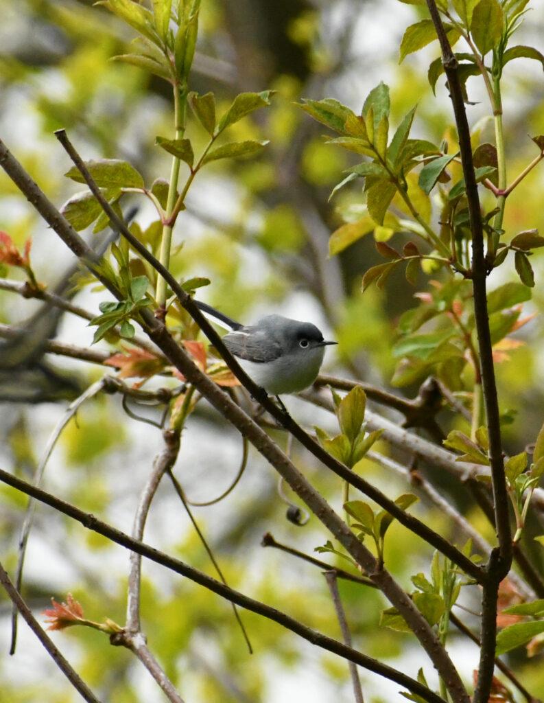 Blue-gray gnat-catcher, Prospect Park