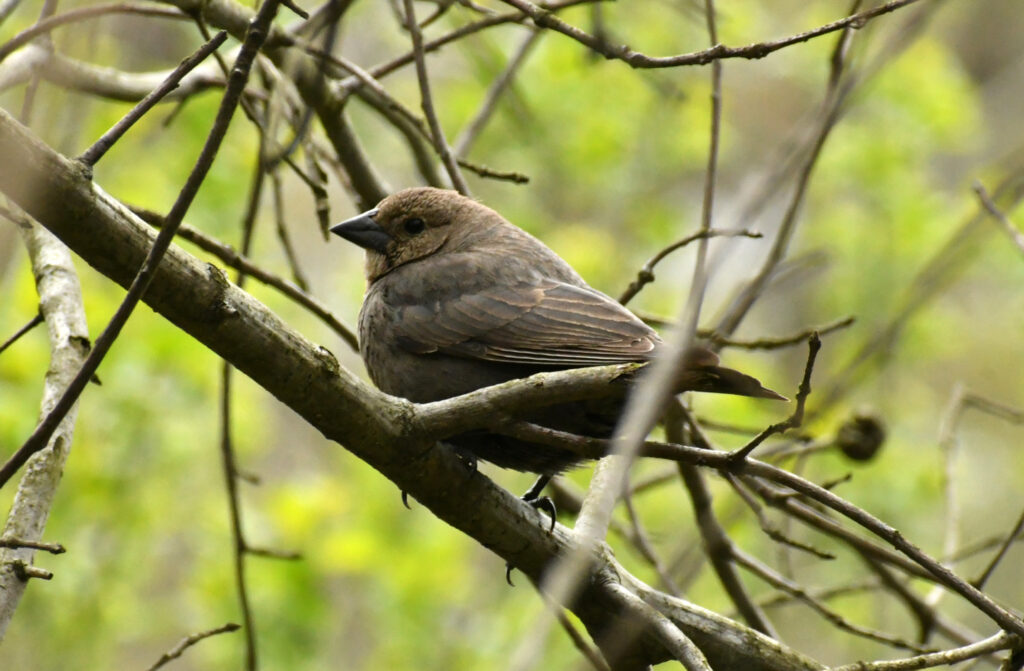 Brown-headed cowbird (female), Prospect Park