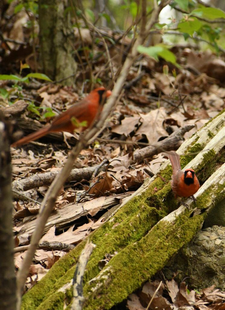Cardinals, Prospect Park