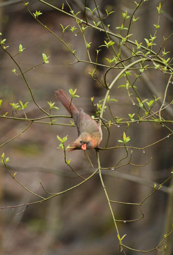 Cardinal (female), Prospect Park
