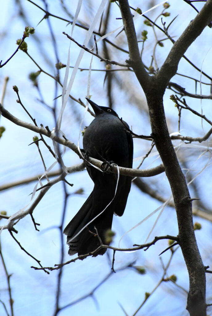 Common grackle, collecting string, Prospect Park
