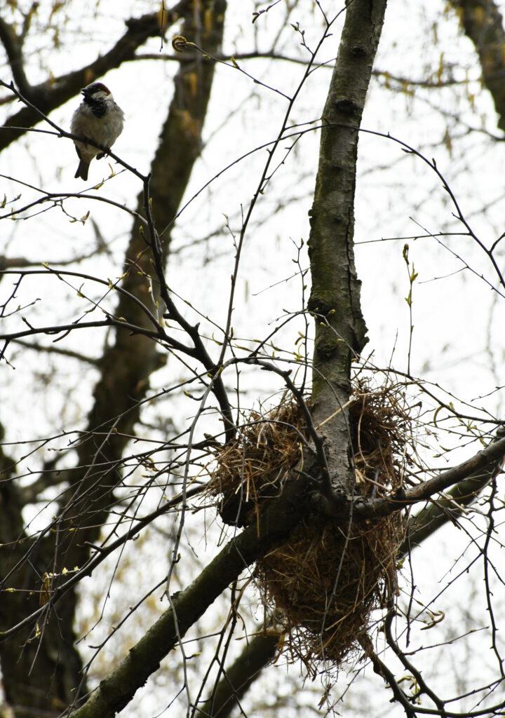 House sparrow and nest, Prospect Park